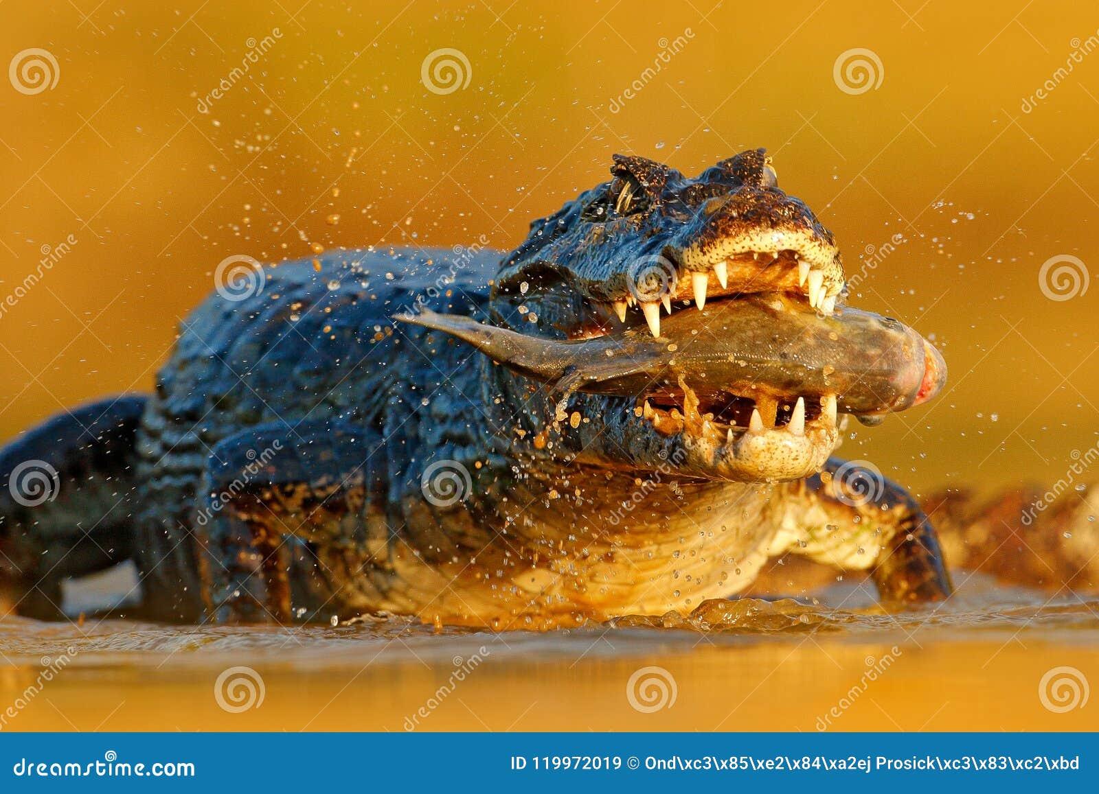 Yacare Caiman, krokodyl z piranha ryba w otwartym kaganu z dużymi zębami, Pantanal, Brazylia Szczegółu portret niebezpieczeństwo