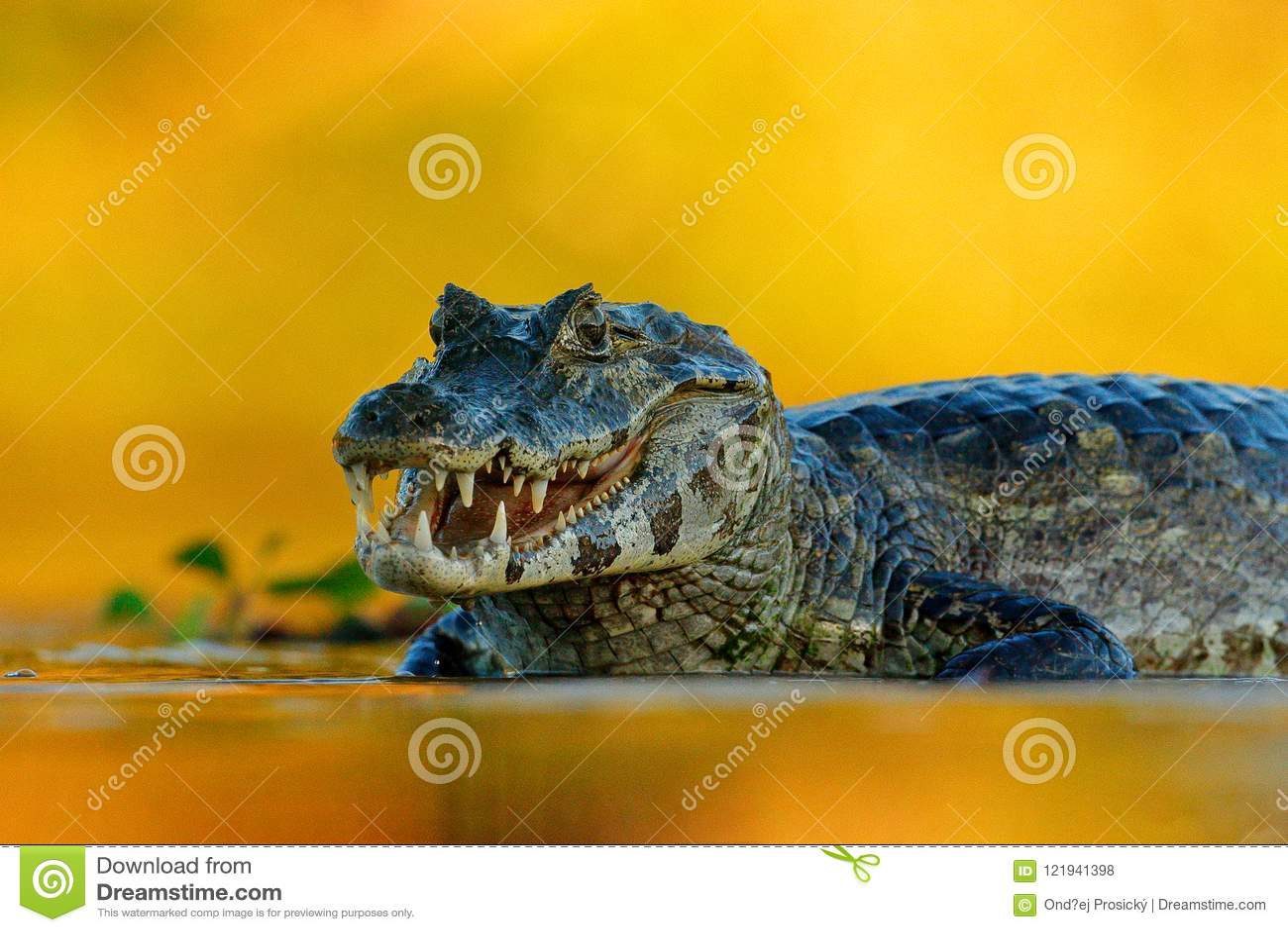 Yacare Caiman, Pantanal, Βραζιλία Πορτρέτο λεπτομέρειας του ερπετού κινδύνου Κροκόδειλος στο νερό ποταμού, που εξισώνει το φως
