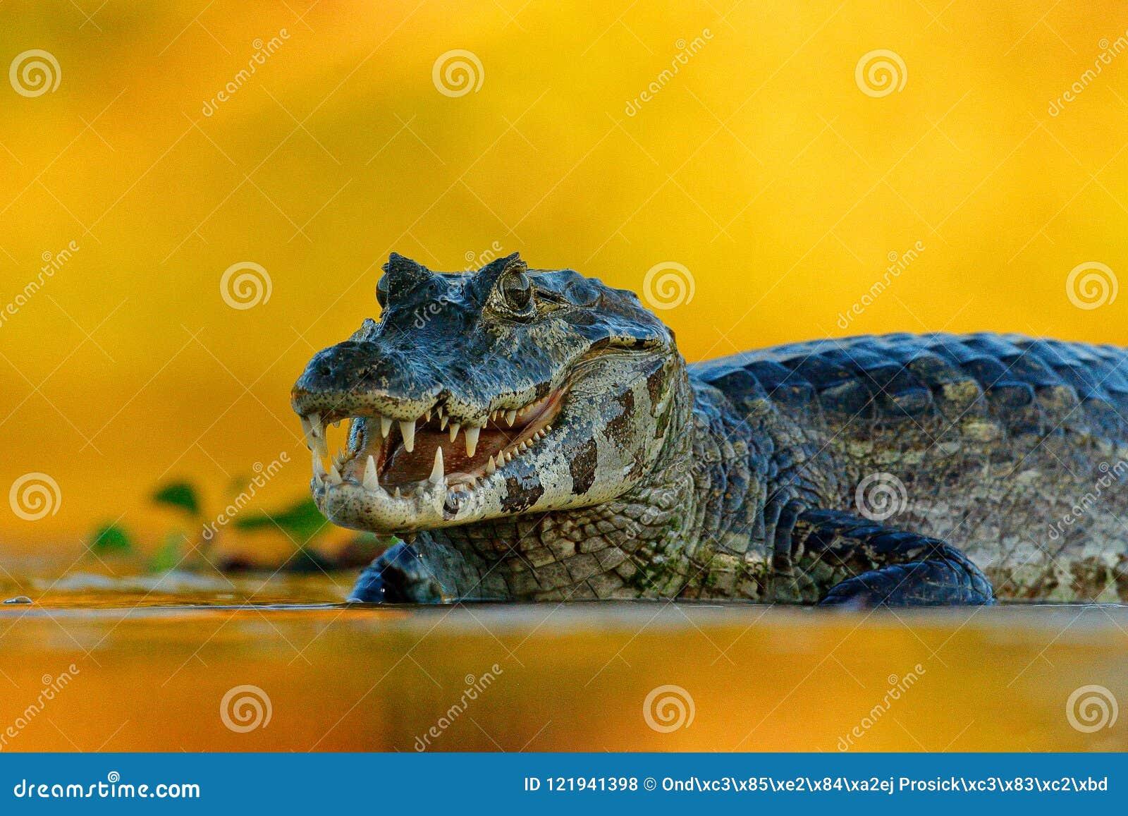 Yacare Caiman, Pantanal, Brazil. Detail portrait of danger reptile. Crocodile in river water, evening light.