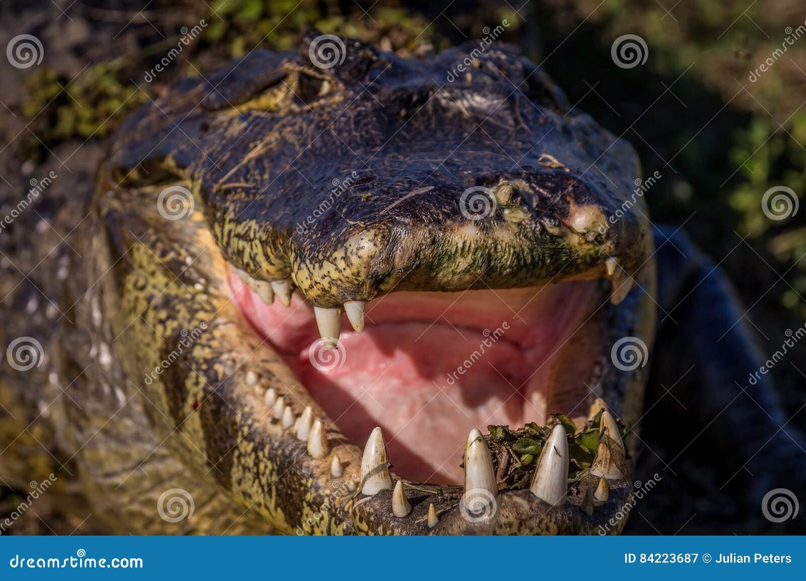 Yacare-Kaiman, Krokodil in Pantanal, Paraguay