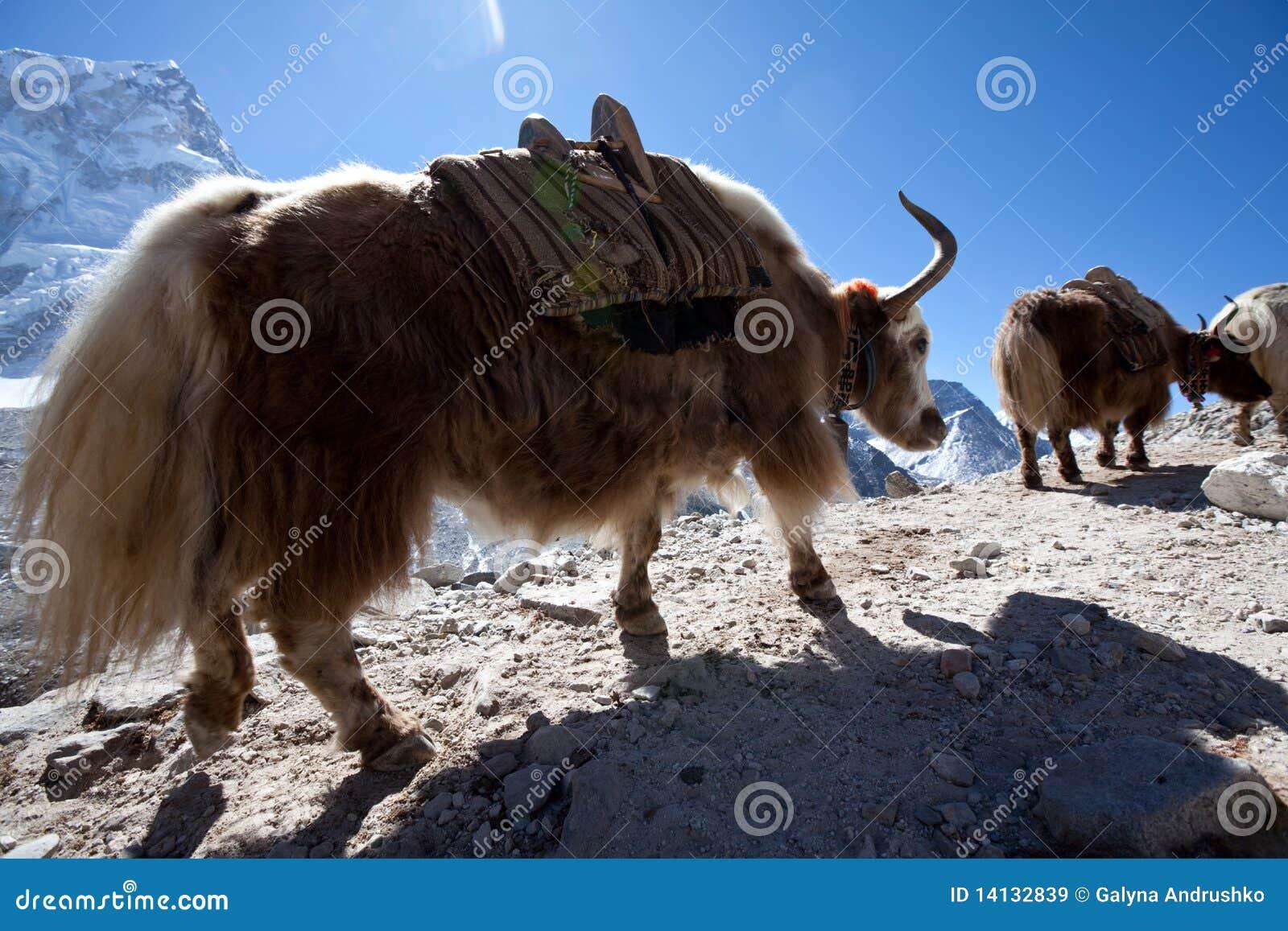 Yak του Νεπάλ