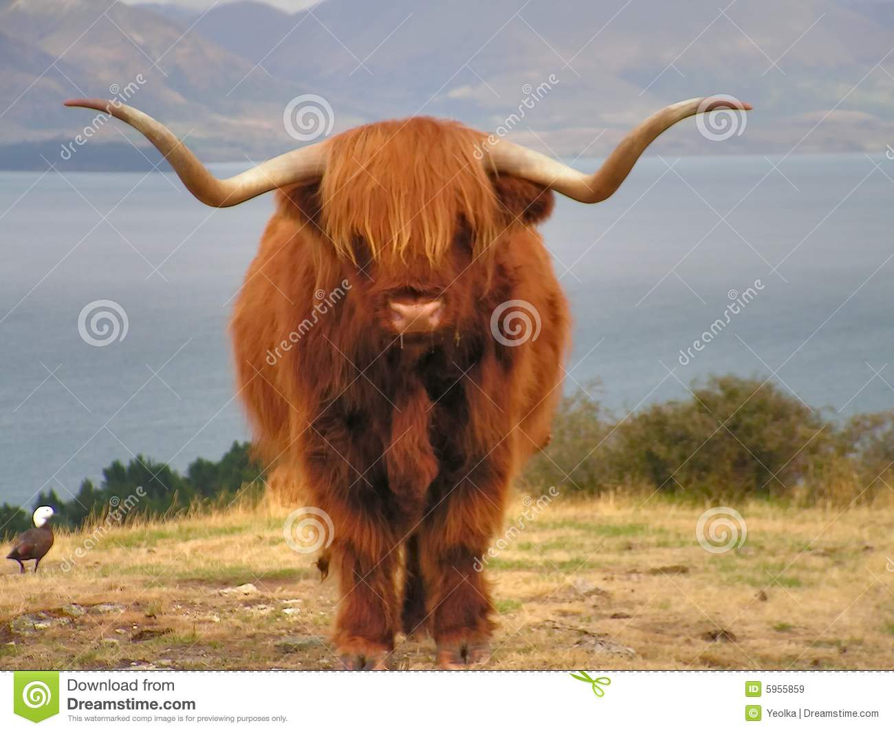 Yak, long-haired ox of Tibet .Deer park, New Zealand.