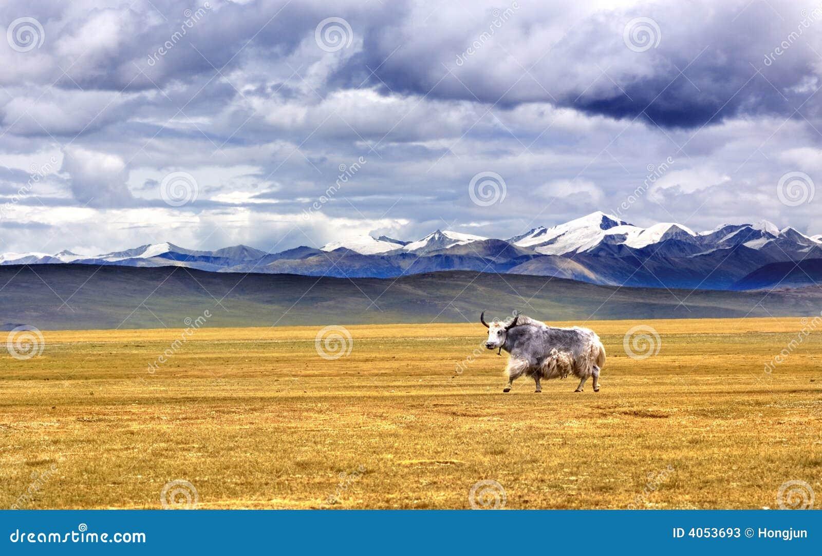 Yak auf Tibet-Hochebene