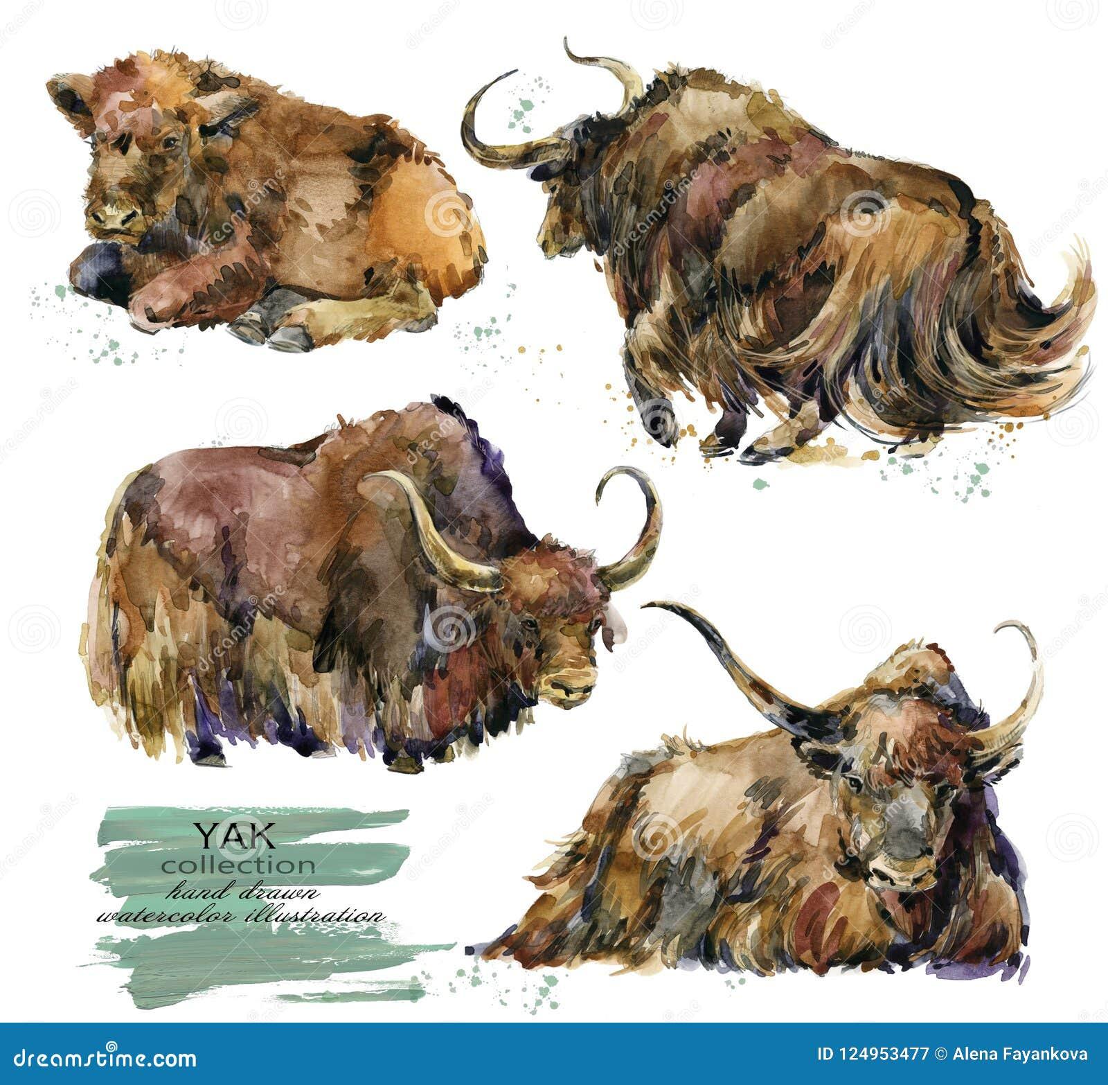 Wild asian yaks