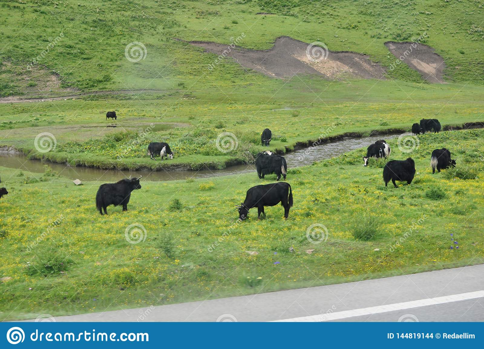Yak neri sulle colline verdi in Cina