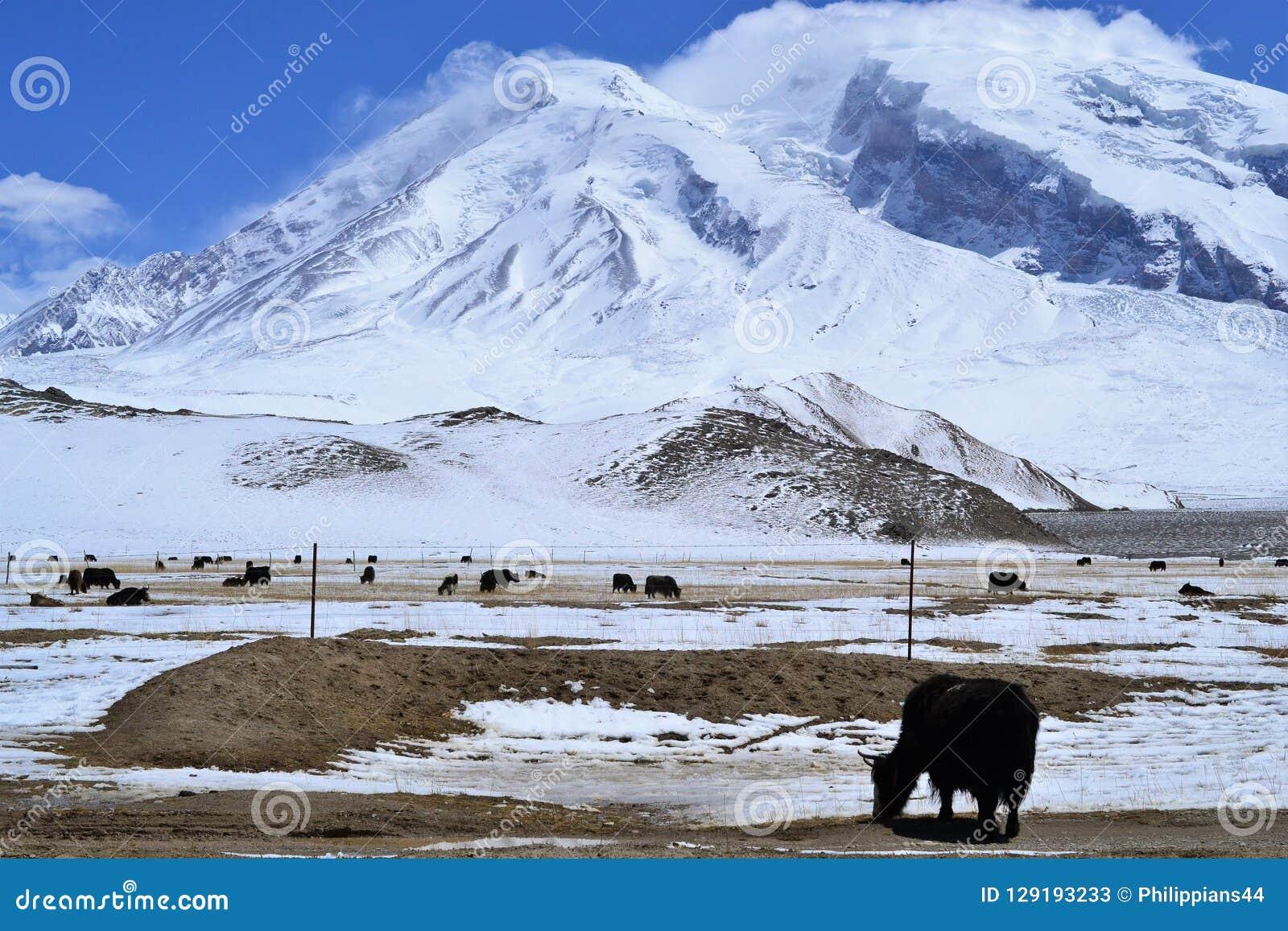 Yaks στο όμορφο τοπίο με τα χιονισμένα βουνά στην εθνική οδό Karakorum σε Xinjiang, Κίνα
