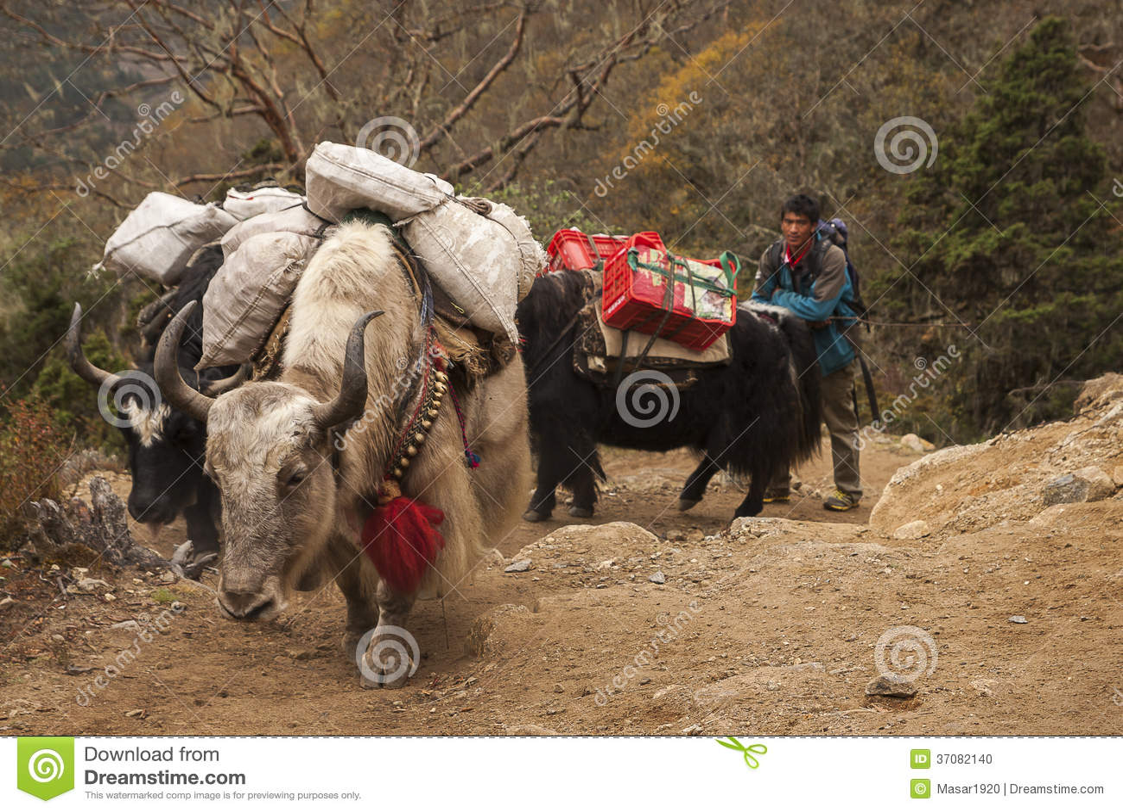 Download Yaks obraz editorial. Obraz złożonej z natura, wakacje - 37082140
