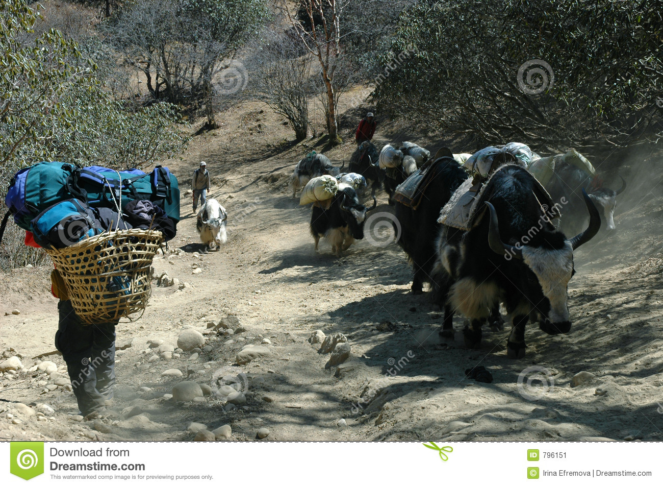Yaks and boy-porter in the Himalayas