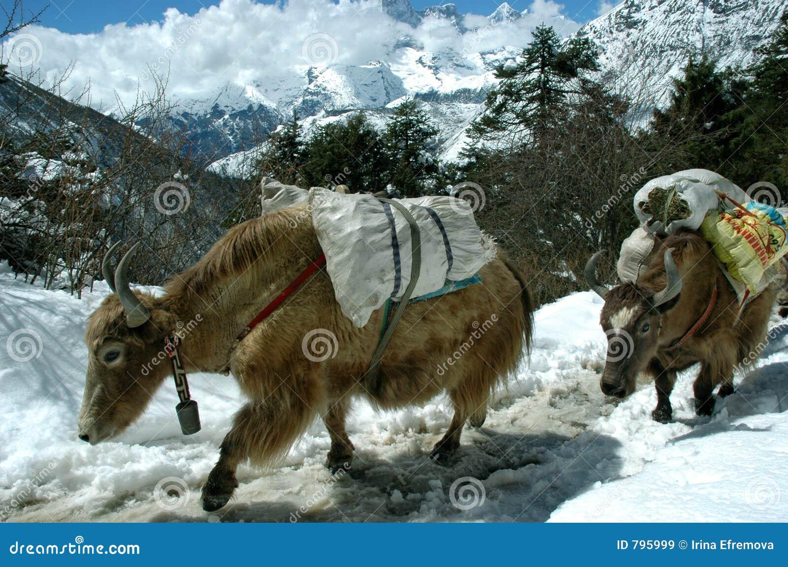 Yaks in the Himalaya