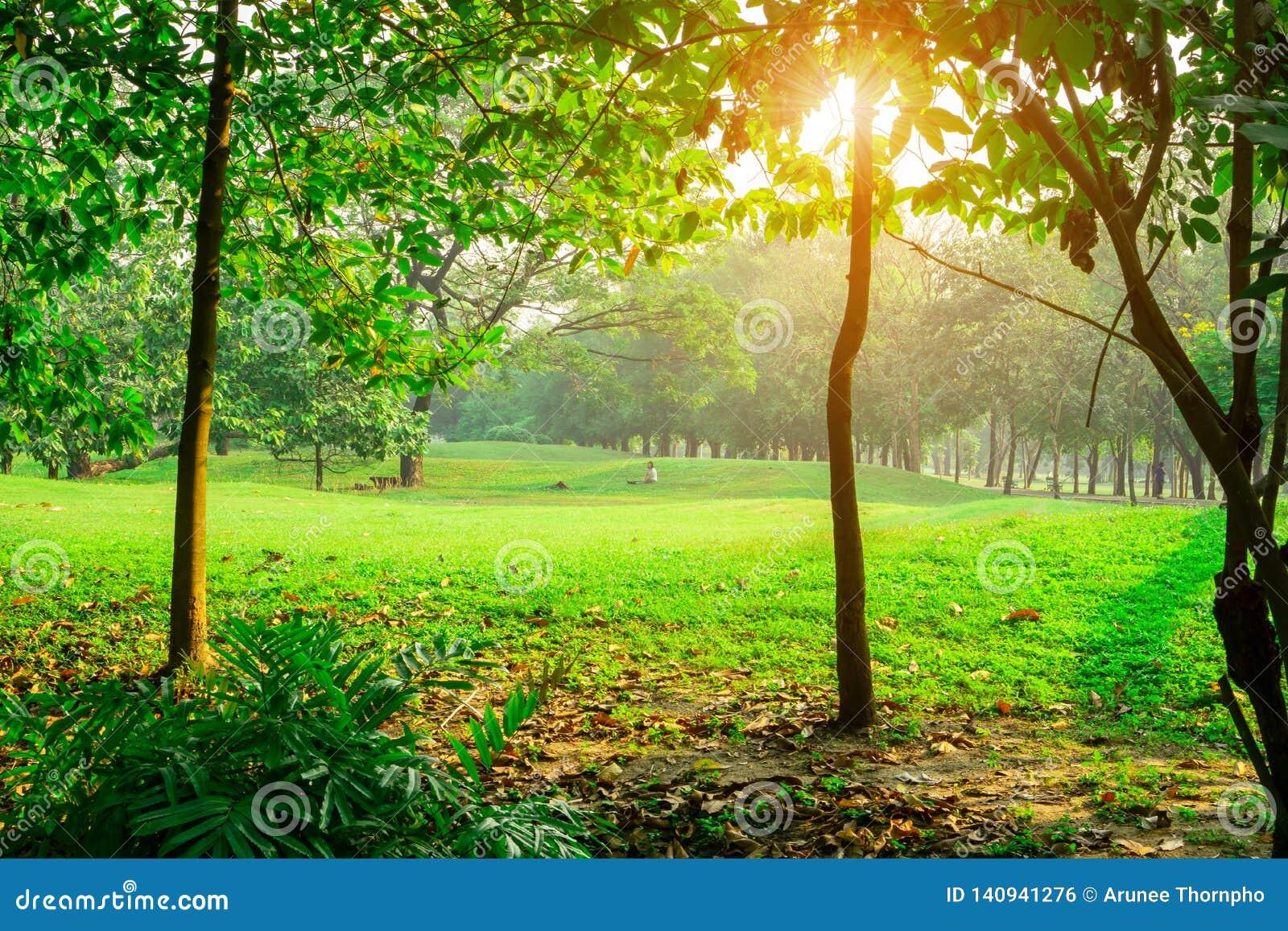 Yard de pelouse d herbe verte au milieu des arbres sous le matin de lumière du soleil, bois en parc public