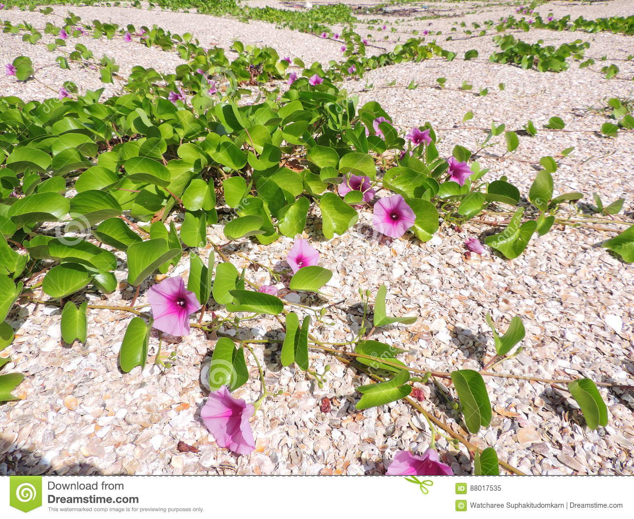 Yard of Ipomoea pes-caprae or Bayhops or Goat`s foot or Beach morning glory flower.