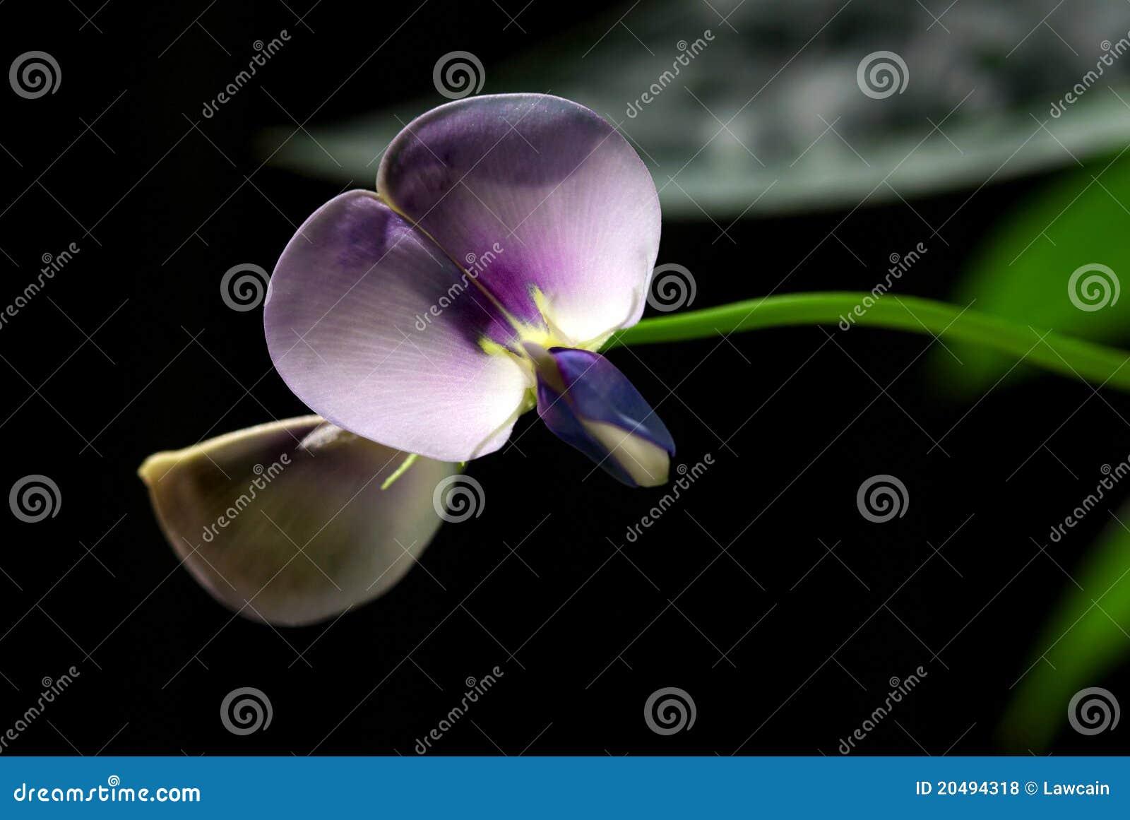 Yard Long Bean Blossom