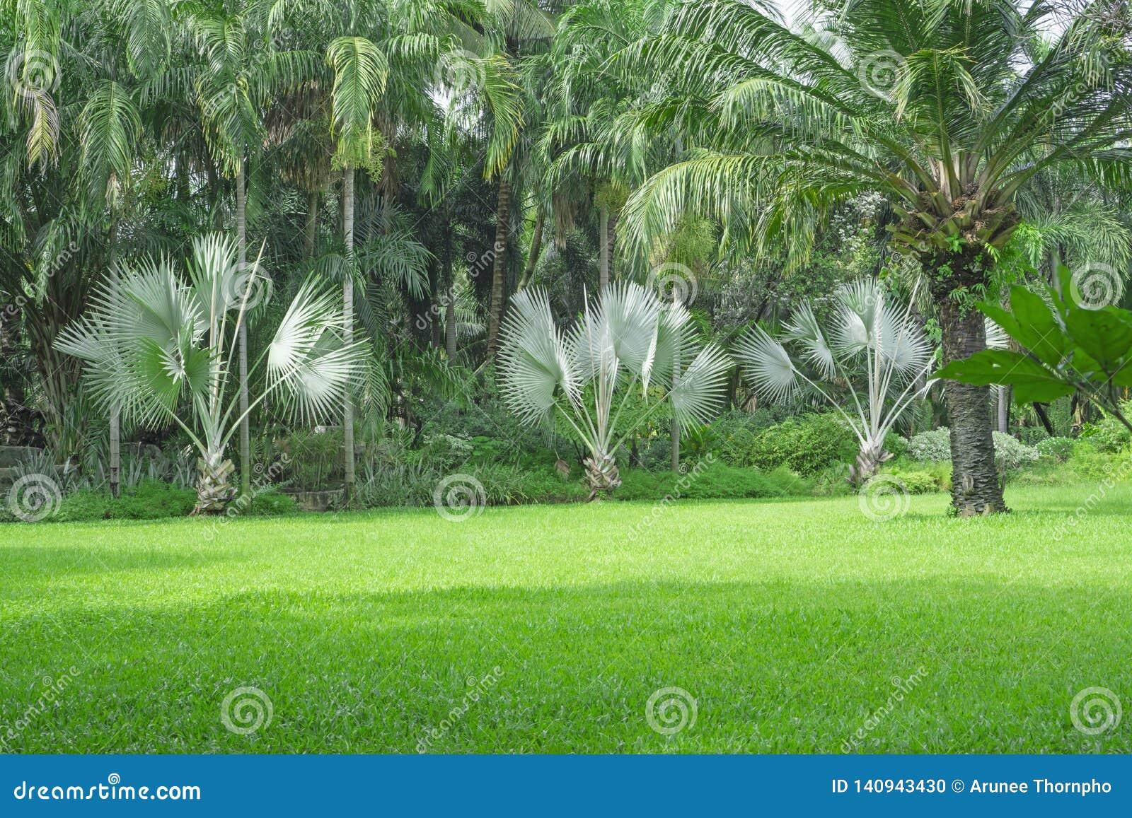 Yard vert frais d herbe de tapis, pelouse lisse dans un beau jardin de palmiers et bon soin aménageant en parc en parc public