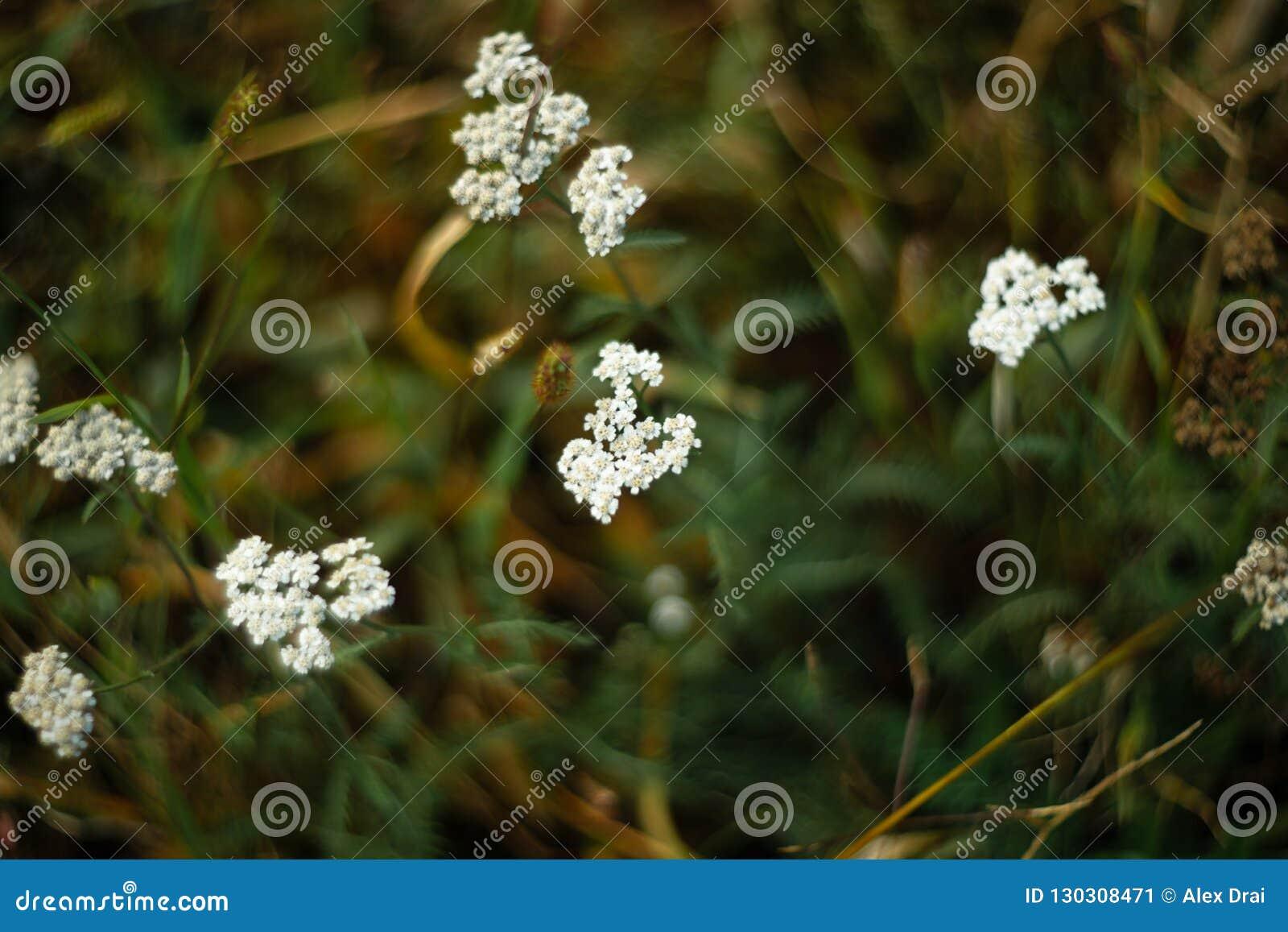 Yarrow closeup view. Healing plant