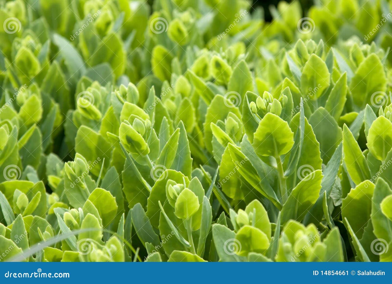 Yarrow milfoil herb