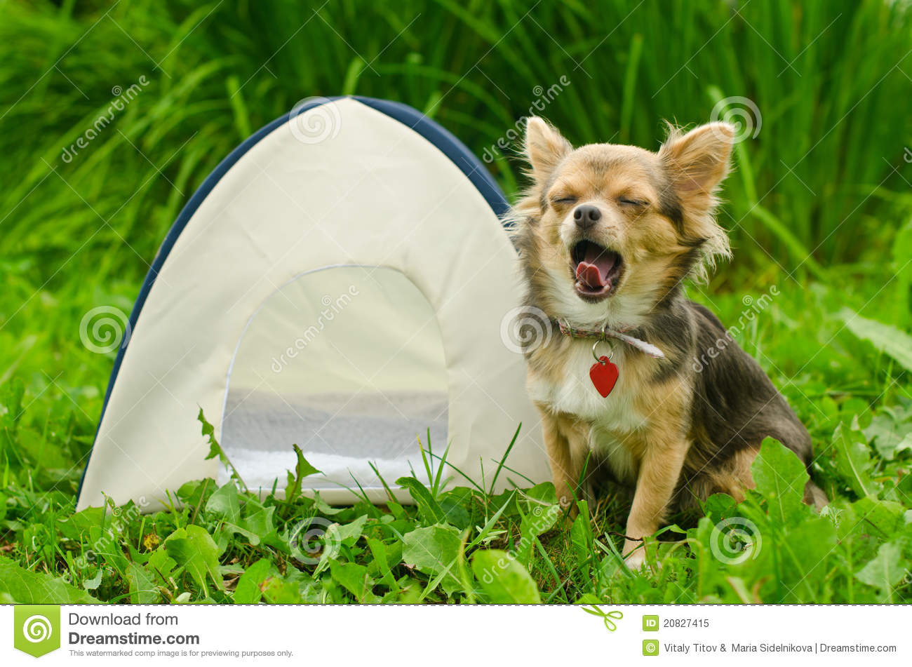 Yawning Chihuahua Dog Sitting Near Camping Tent Royalty ...