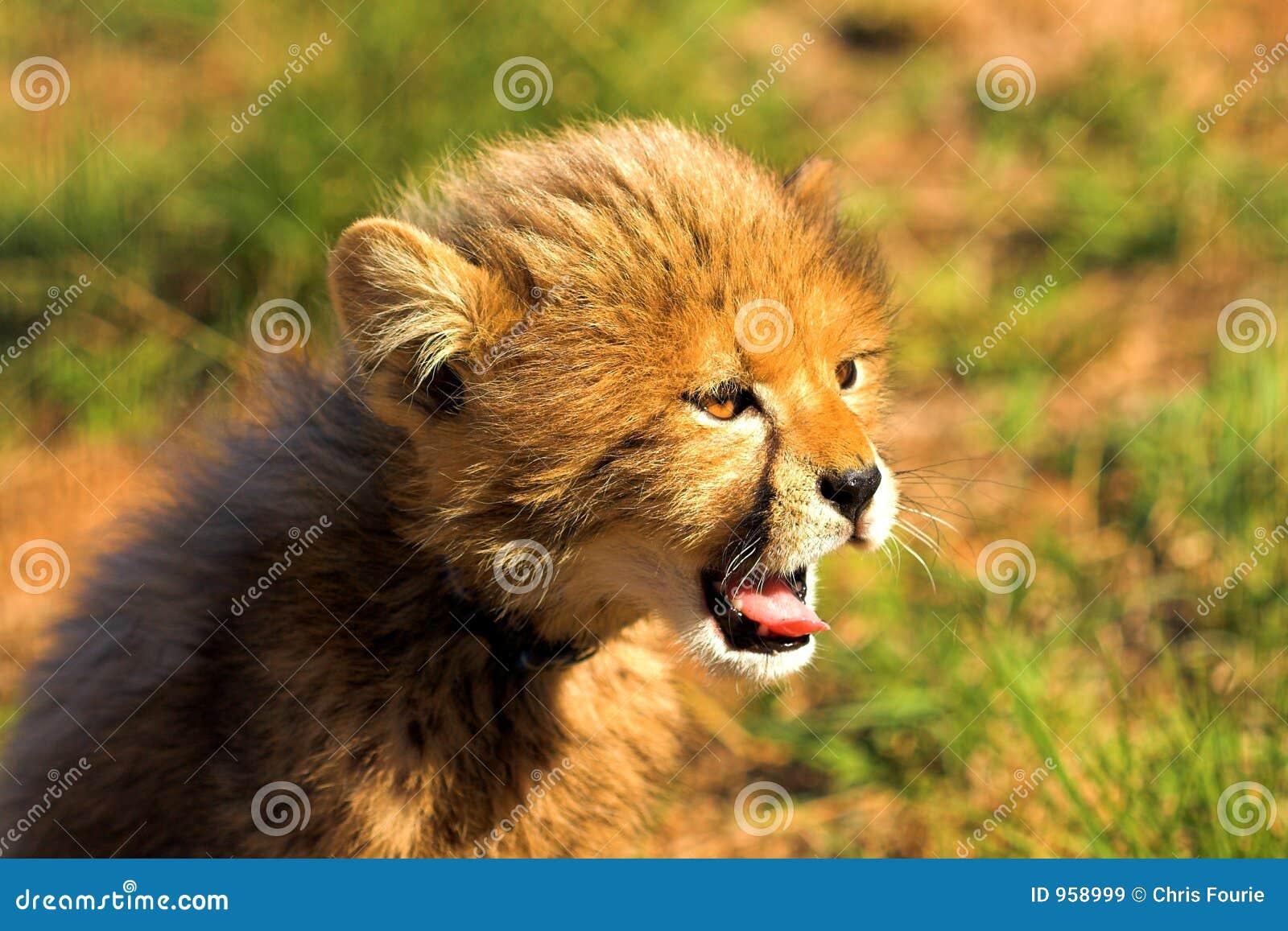 Yawning Cub