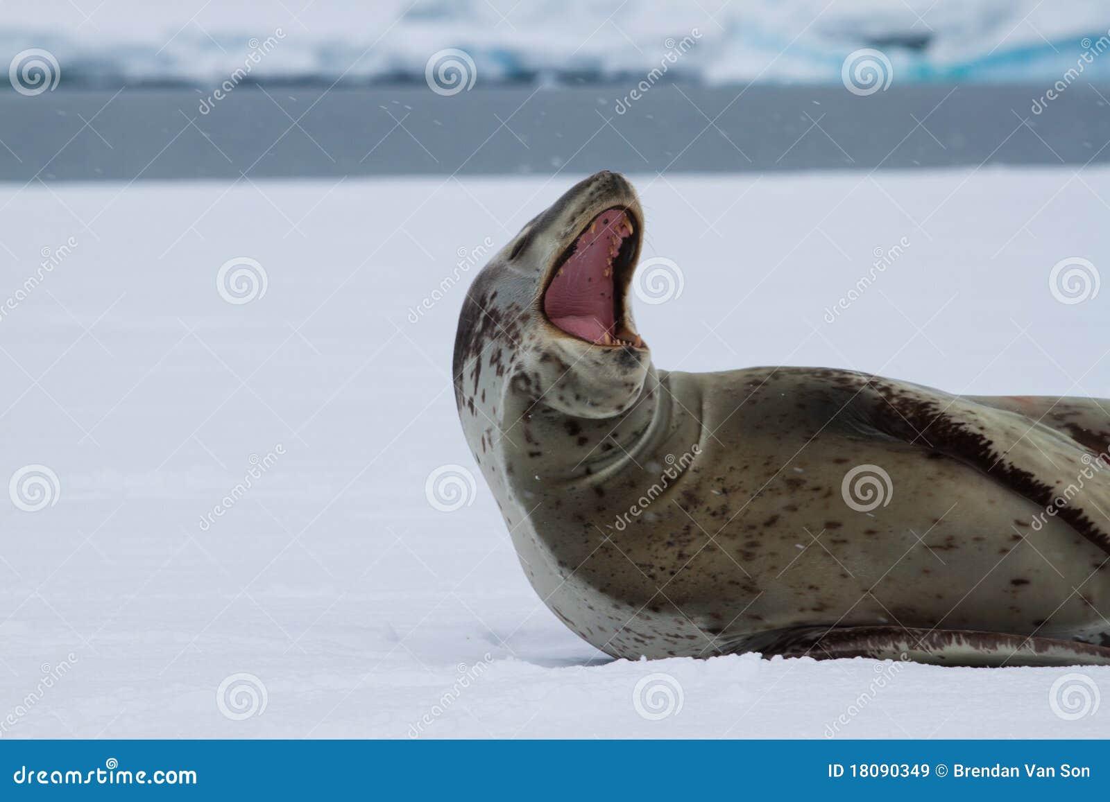 Yawning Leopard Seal