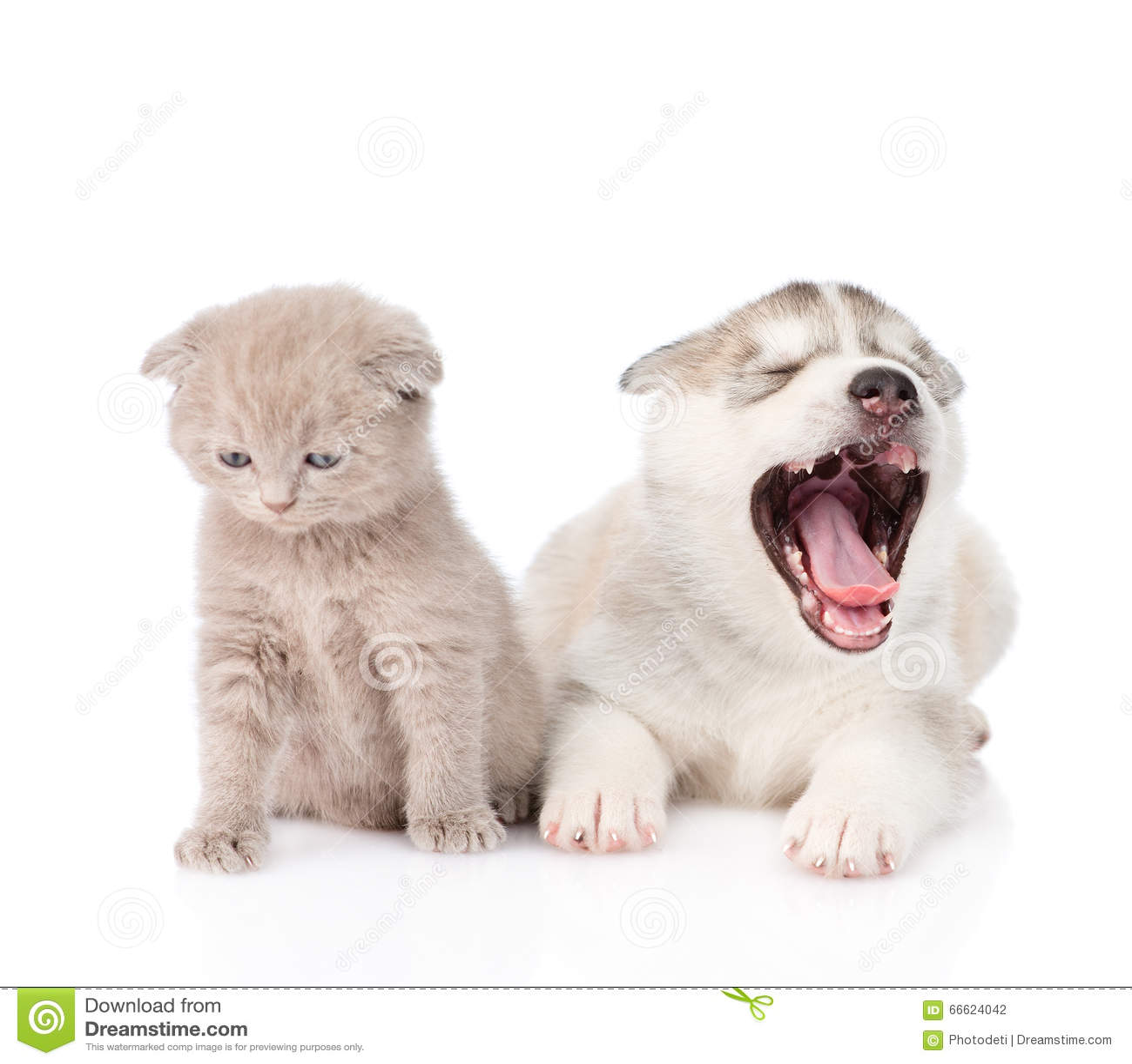 Yawning Siberian Husky Puppy Dog And Small Scottish Cat ...