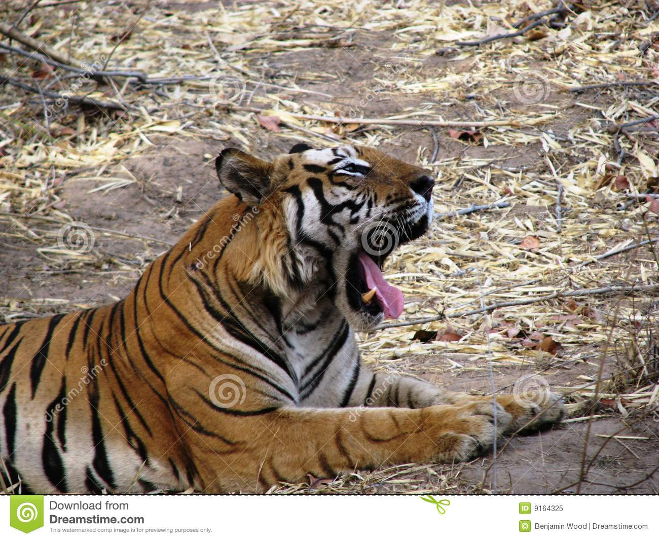 39 best images about Bengal Tiger on Pinterest |Bengal Tiger Tired