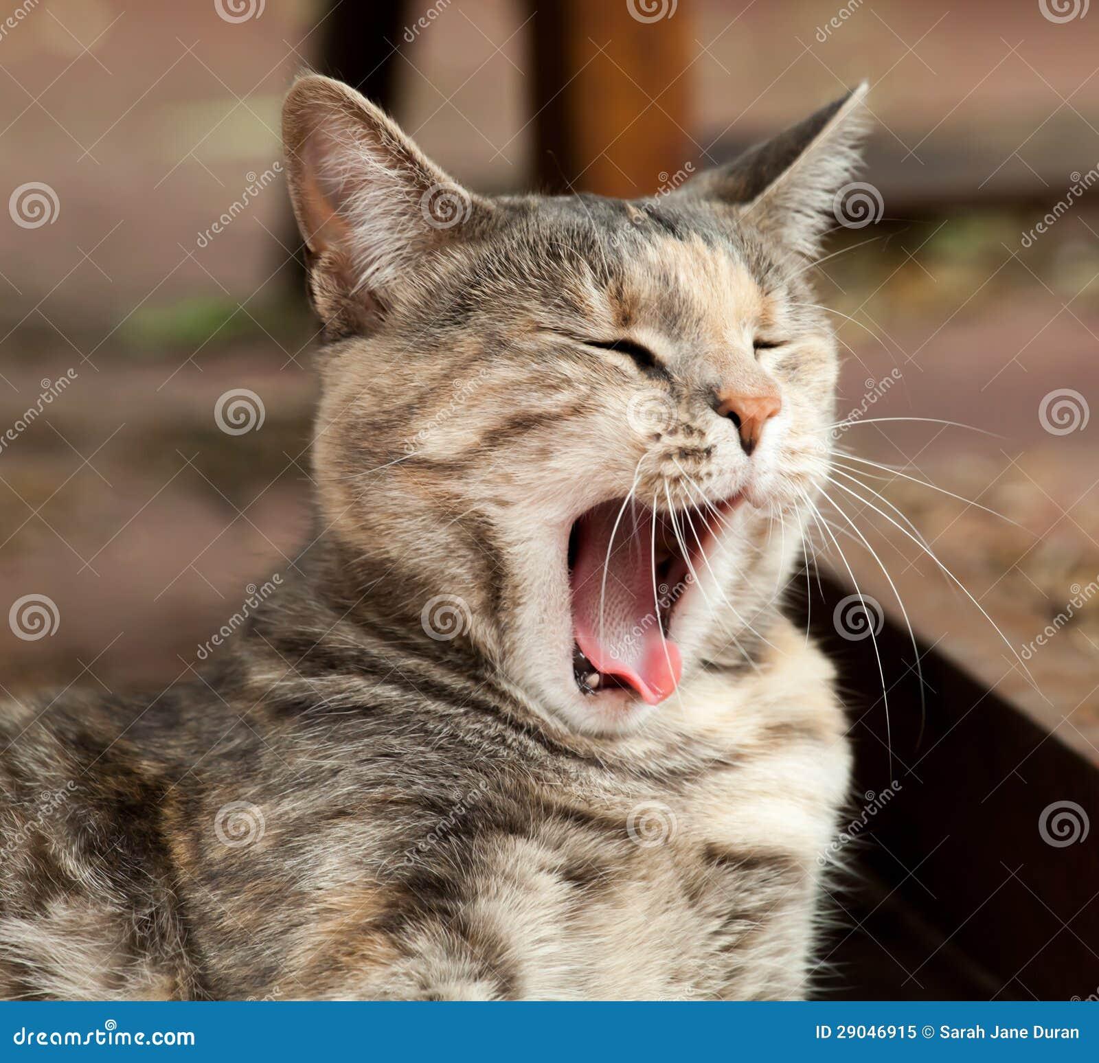 Rare Tortoiseshell-Tabby (Torbie) cat yawning and sleepy outside. Torbie Cat