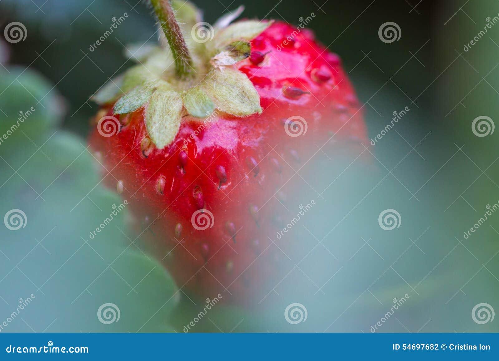 Życiorys czerwona truskawka