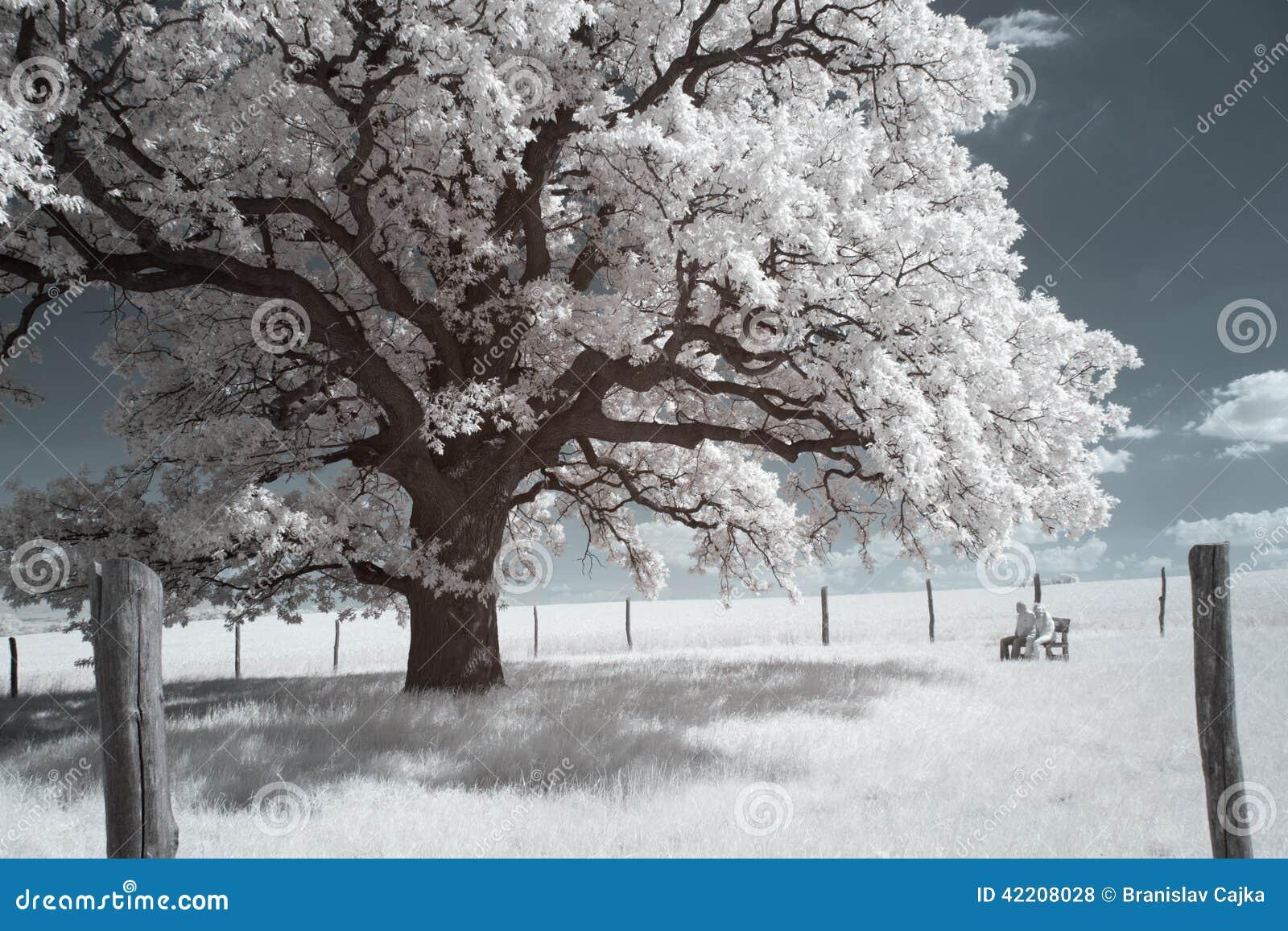 300 year old Oak-tree