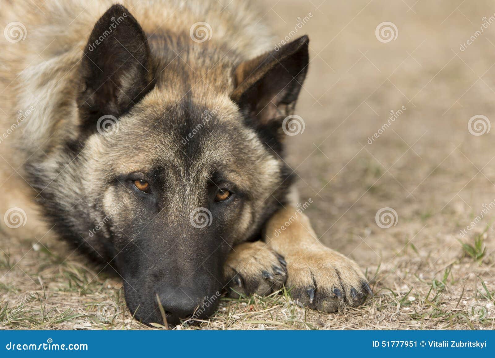 Yearning Dog
