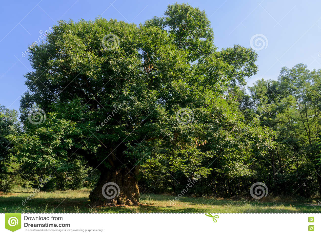 400 years old chestnut tree