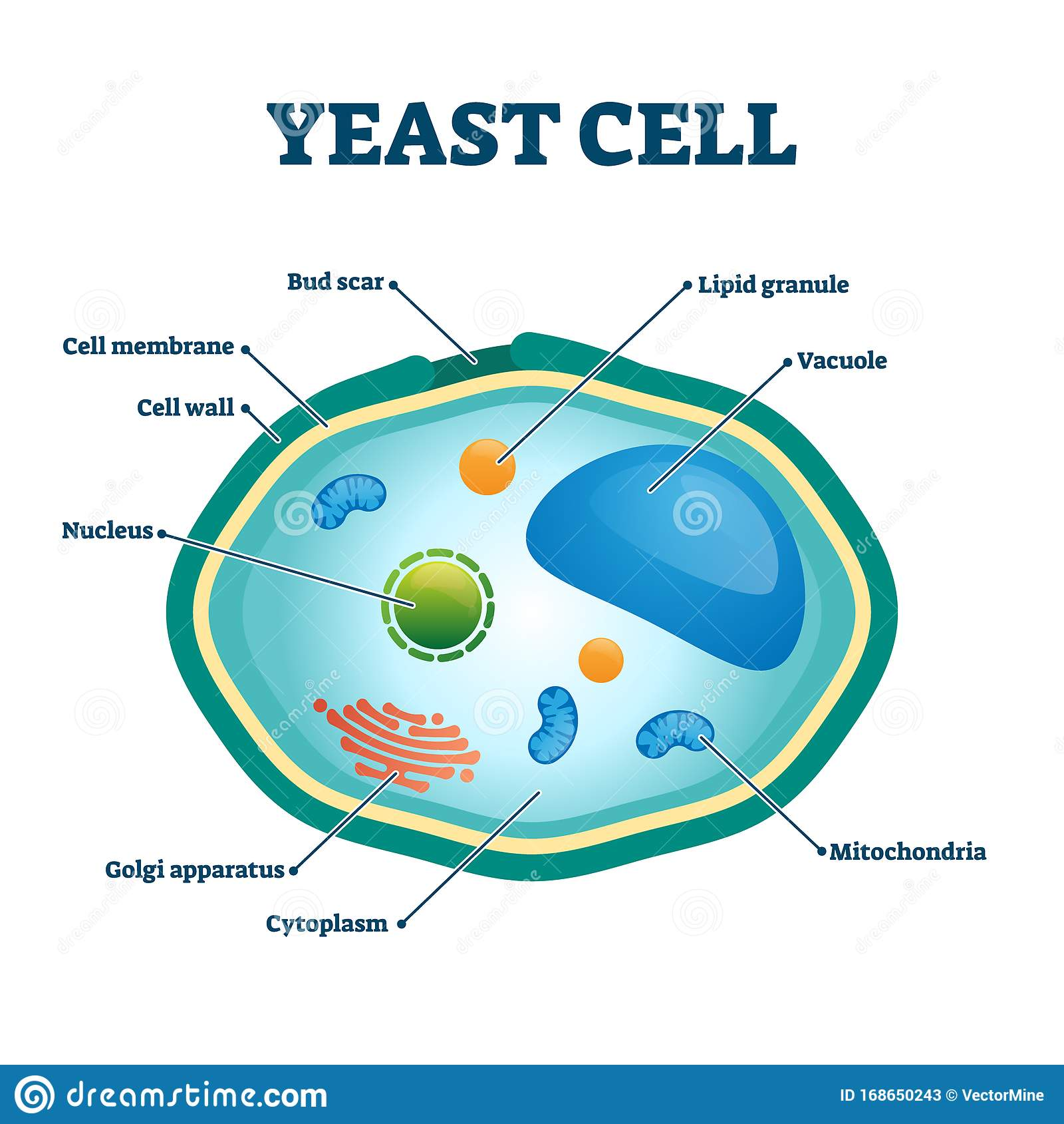 Yeast Cell Vector Illustration  Labeled Organism Closeup