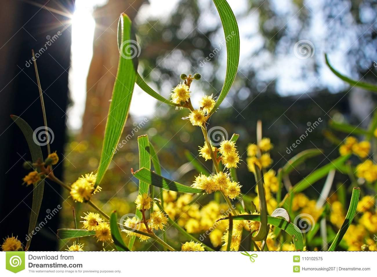 Yellow Acacia Flowering Tree Stock Image Image Of Diego Tree