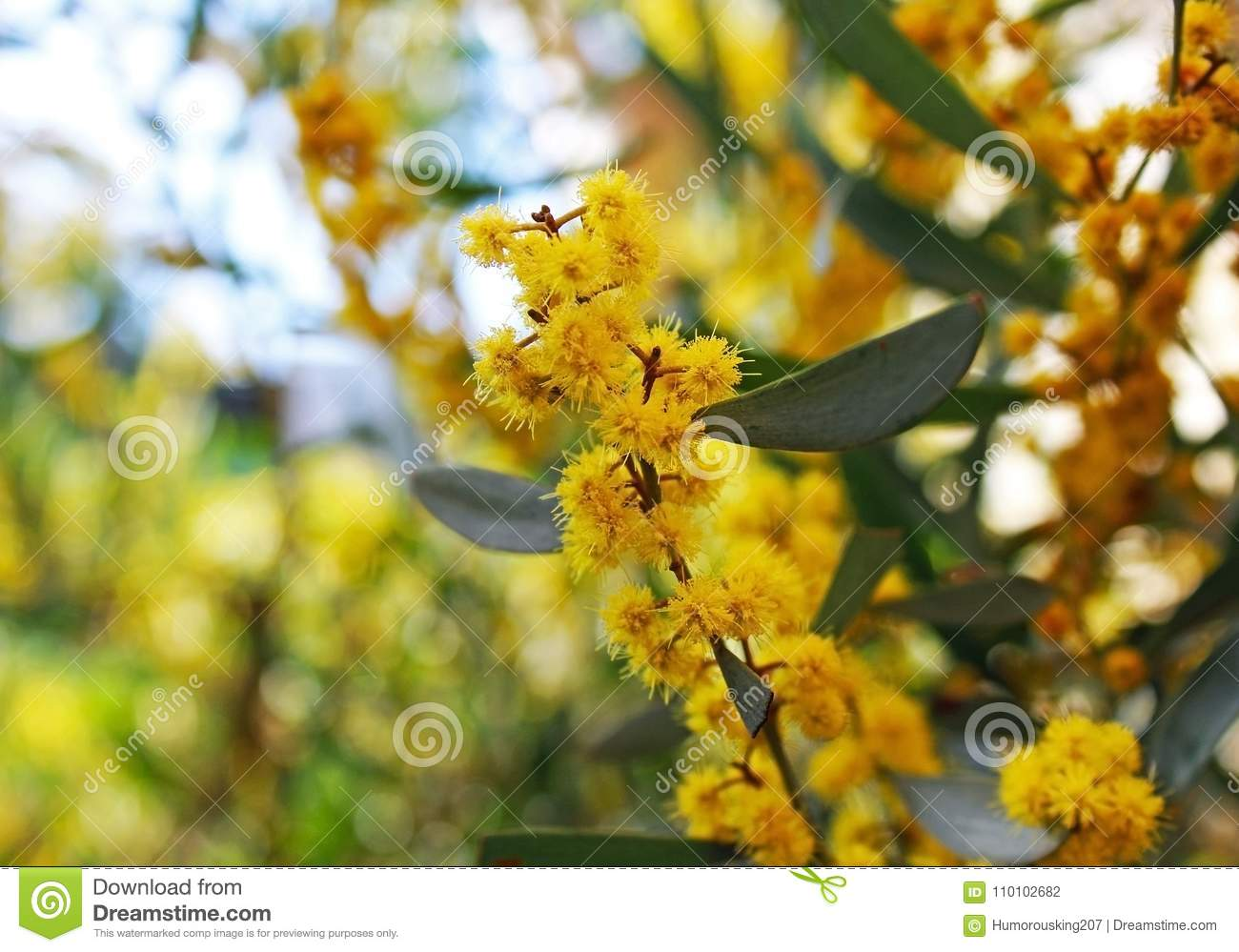 Yellow Acacia Flowering Tree Stock Photo Image Of Flowering Color