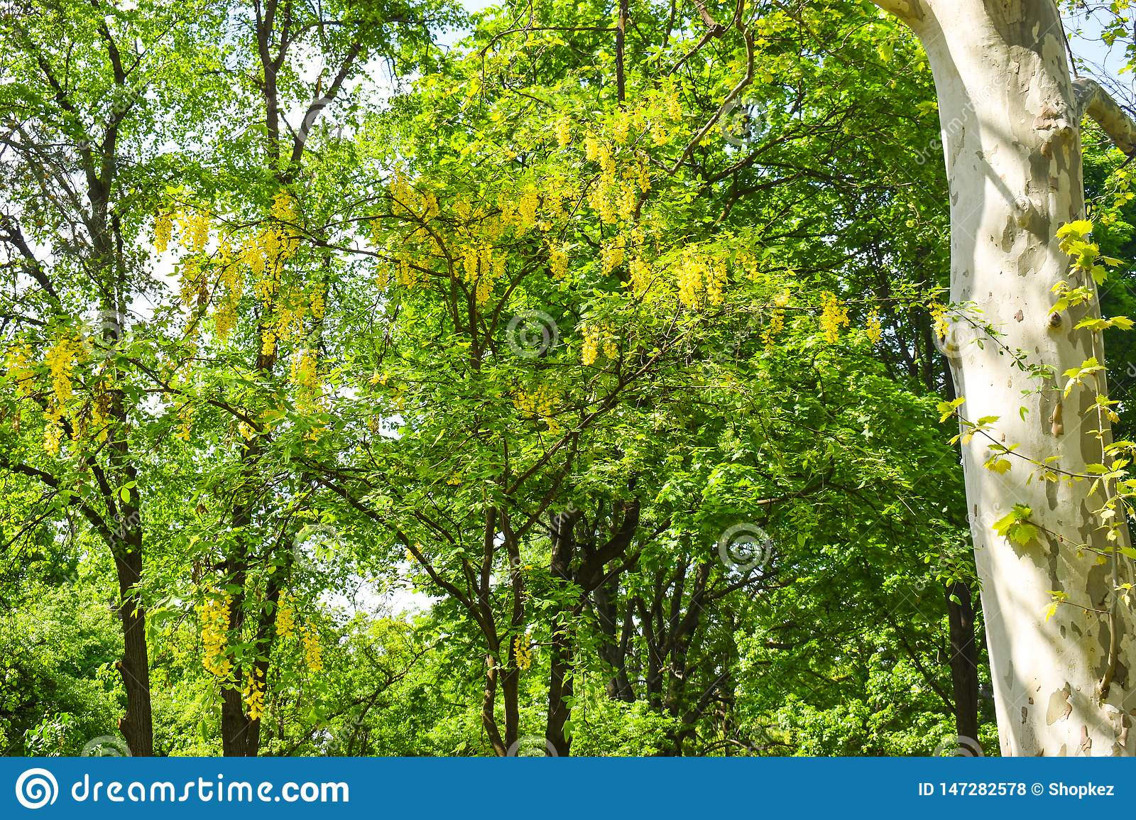 Yellow acacia trees in the city park in a beautiful sunny spring day