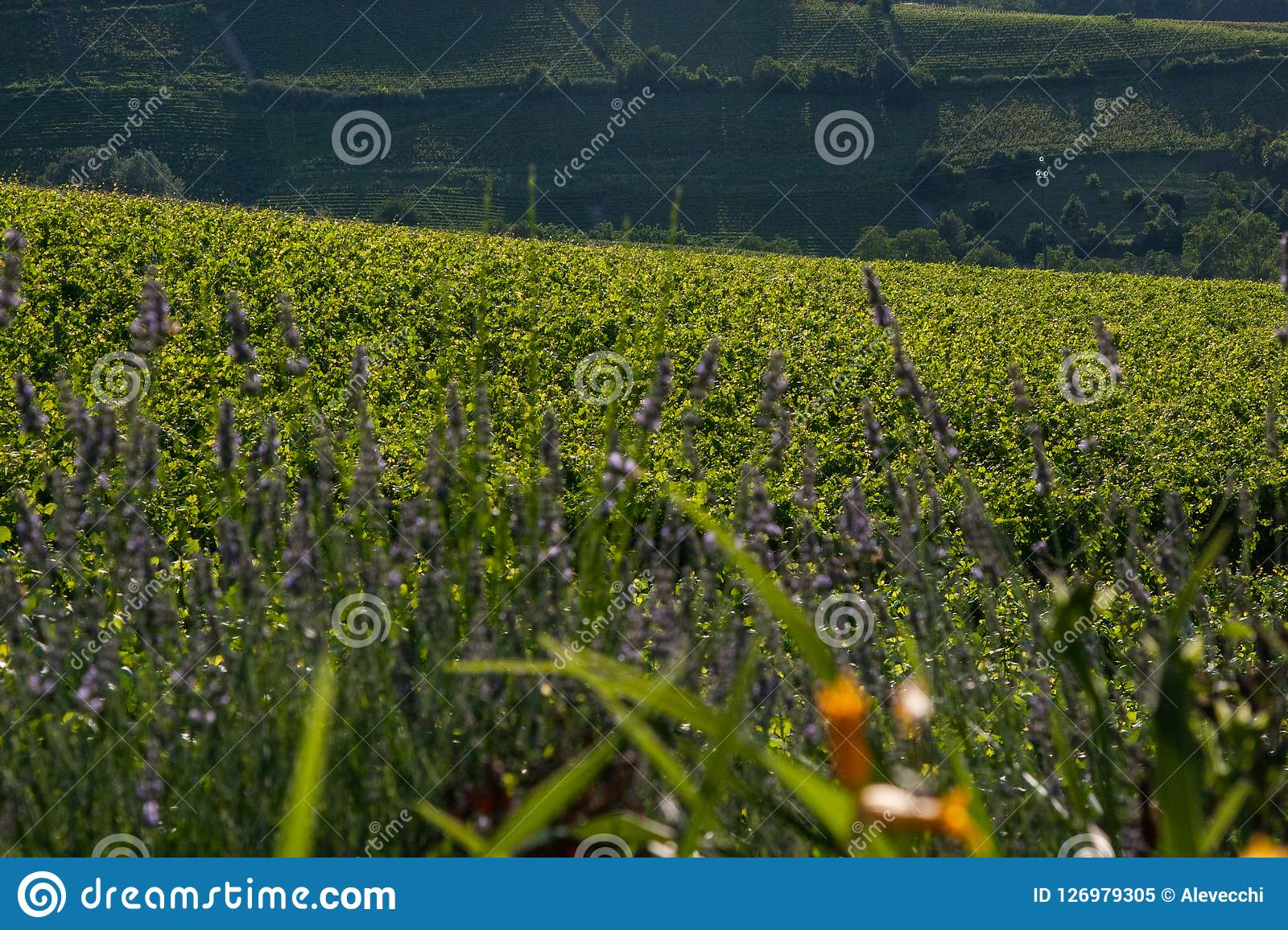 Yellow Ad Purple Flowers With Grape Wine Fields Hills Background