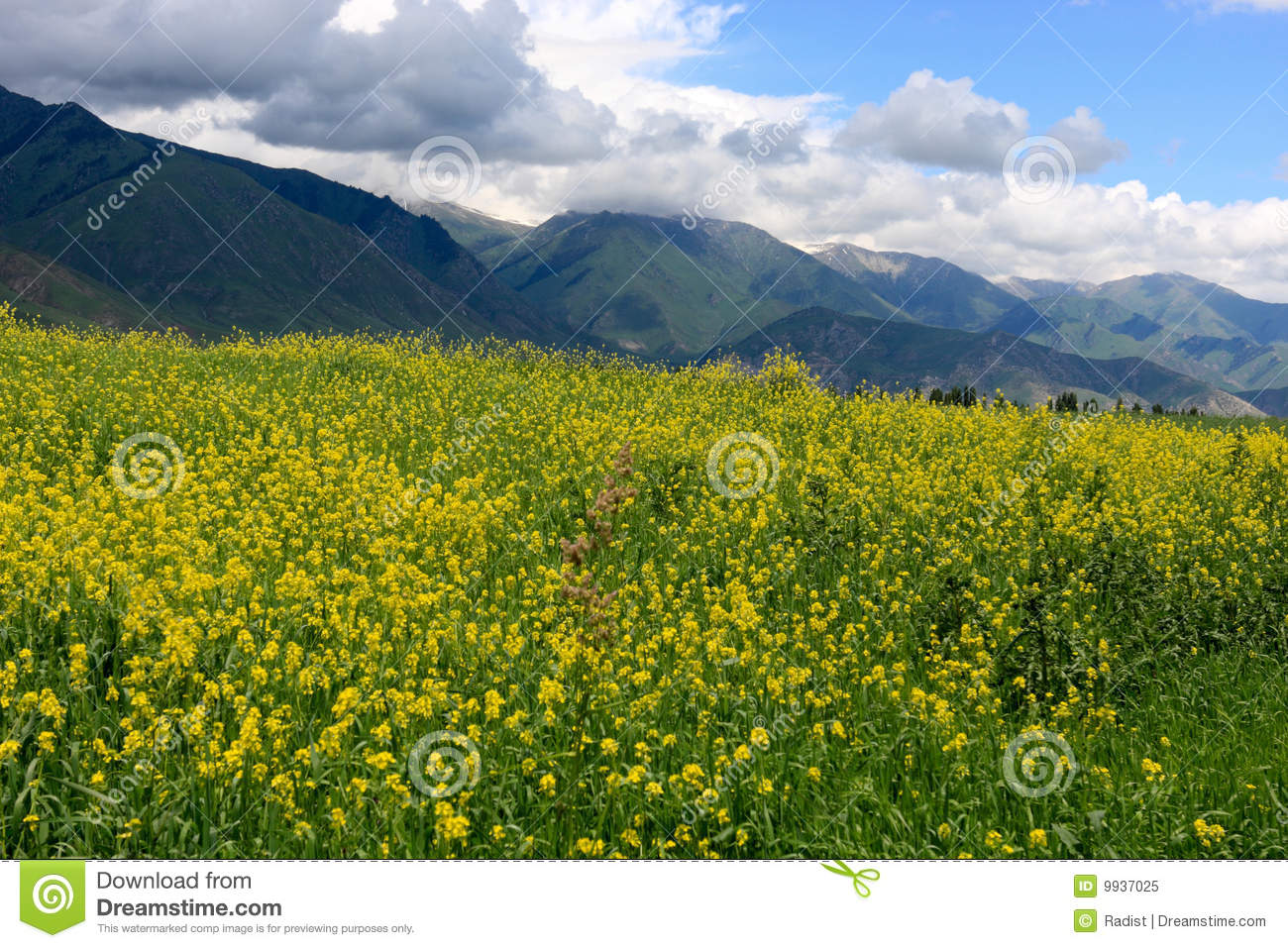Yellow Alfalfa Stock Image Image Of Mountains Nobody 9937025