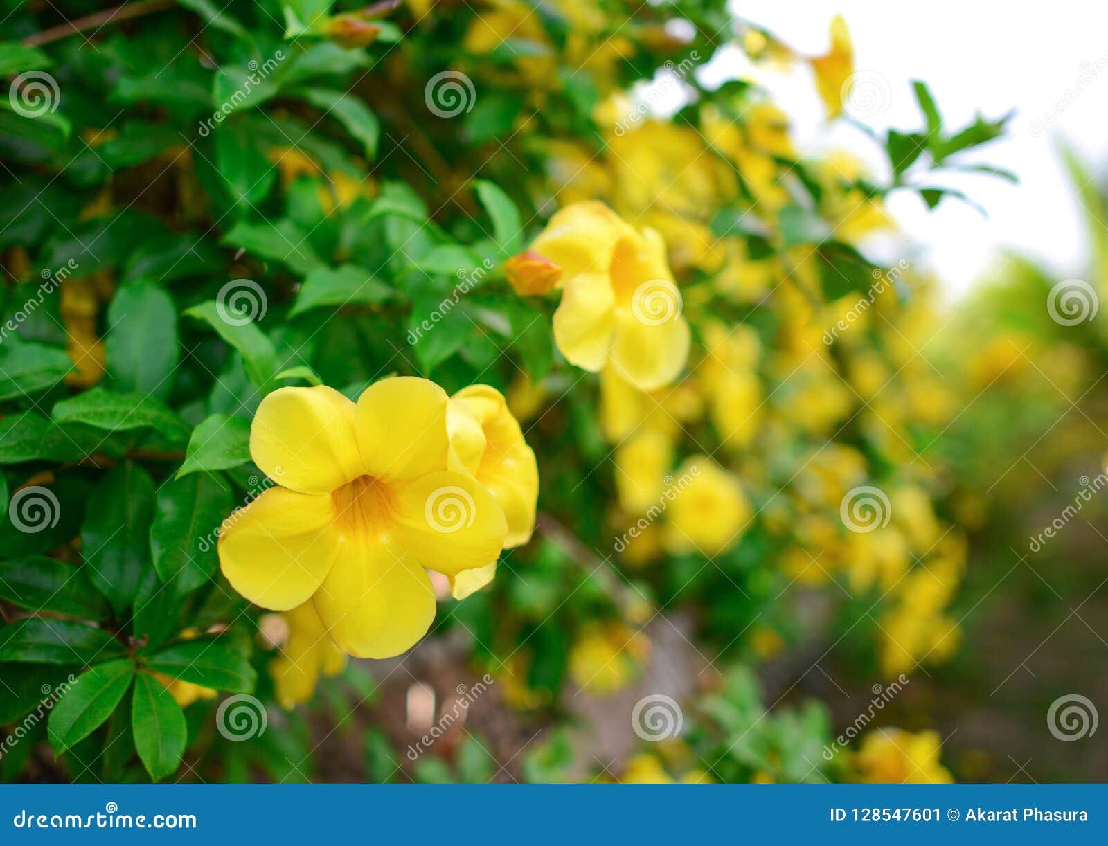 Yellow Allamanda Or Yellow Trumpet Flower Bush Stock Image Image