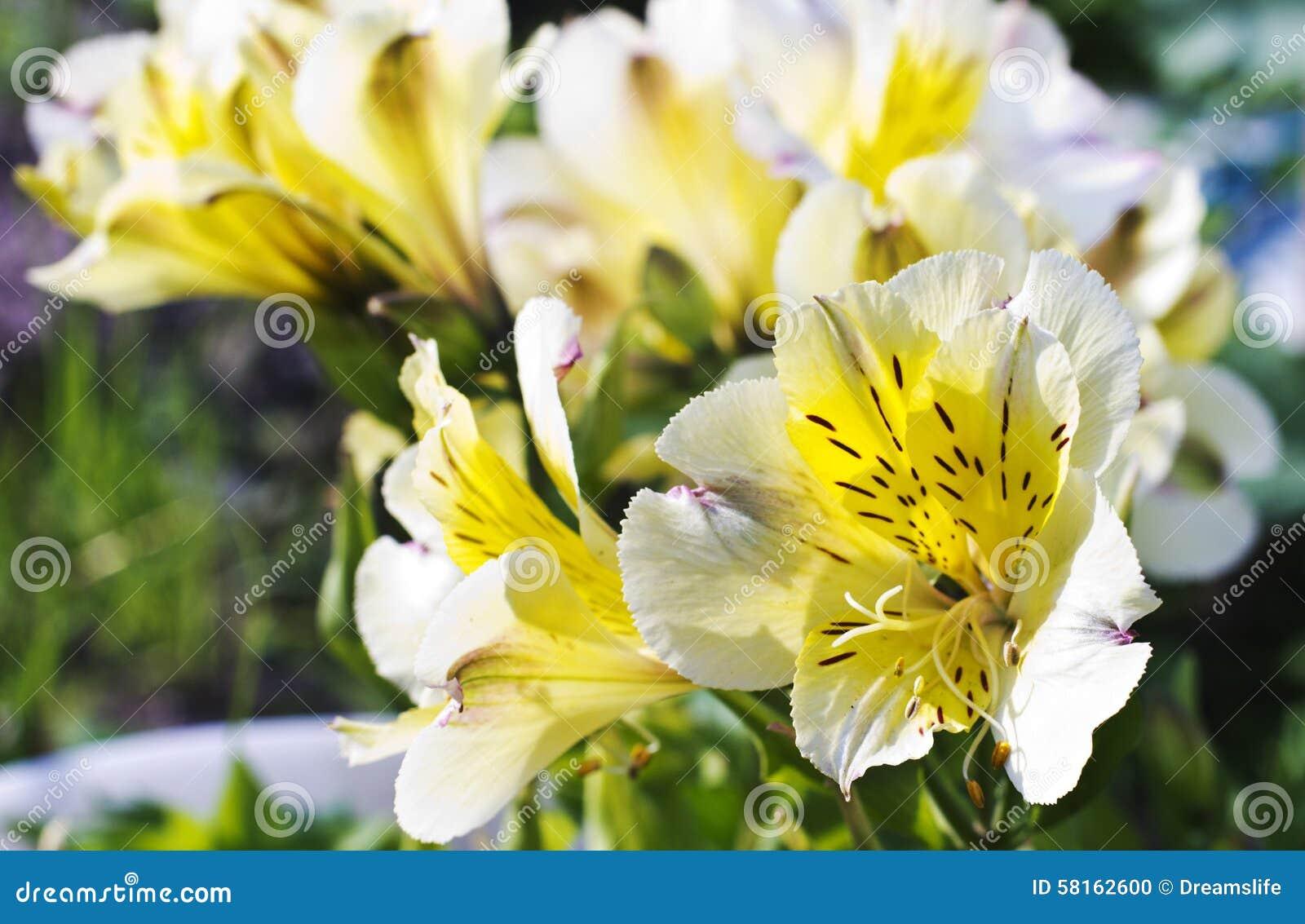 Yellow Alstroemeria Stock Photo Image Of White Flowers 58162600
