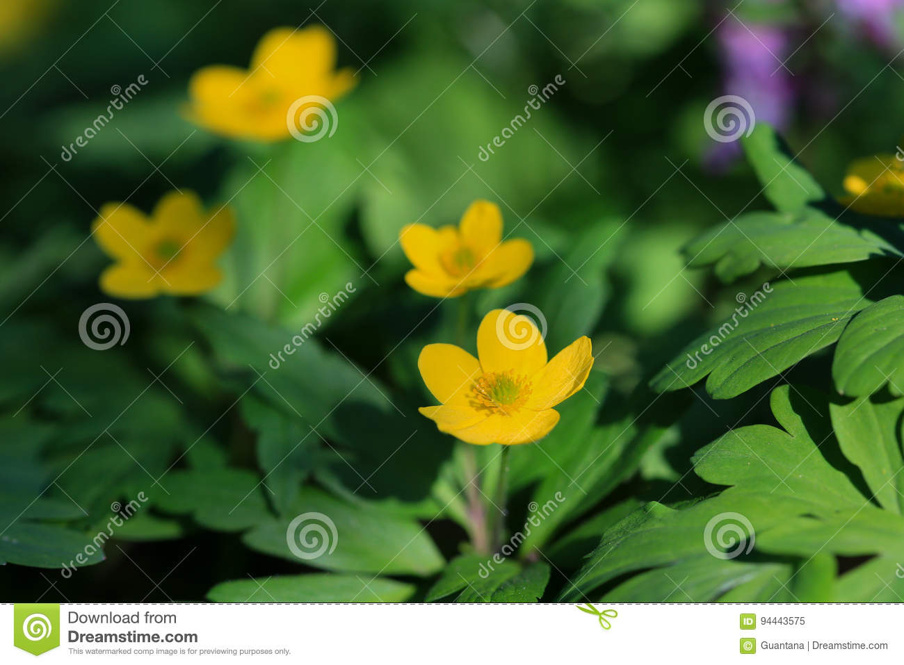 Yellow Anemone Poisonous Flower Stock Image Image Of Blooming