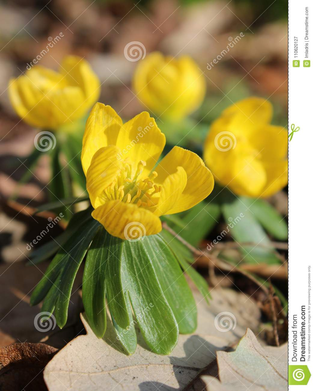Yellow Anemone Ranunculoides Flower Stock Image Image Of Bloom