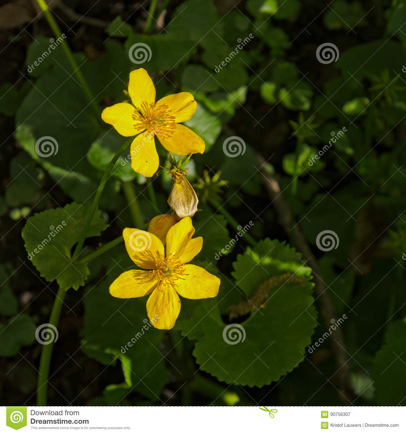 Yellow Anemones Anemone Ranunculoides Stock Image Image Of Rock