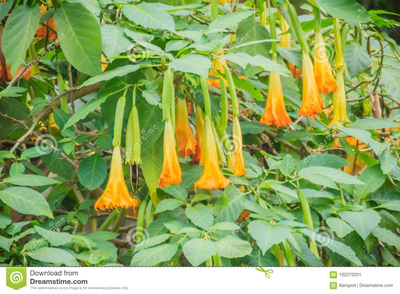 Yellow angels trumpet flowers brugmansia suaveolens on tree download yellow angels trumpet flowers brugmansia suaveolens on tree stock image image mightylinksfo