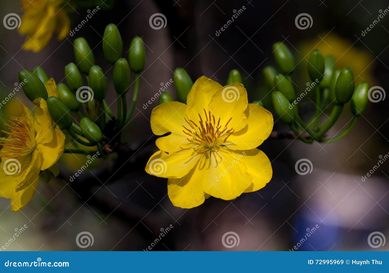Download Yellow Apricot Blossom Closeup ( Hoa Mai ) Stock Image - Image of botanical, closeup: 72995969