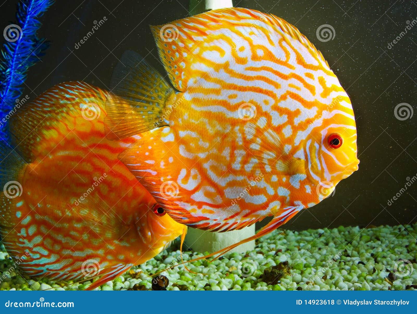 Freshwater aquarium fish colorful saltwater and fresh for Yellow fish tank water