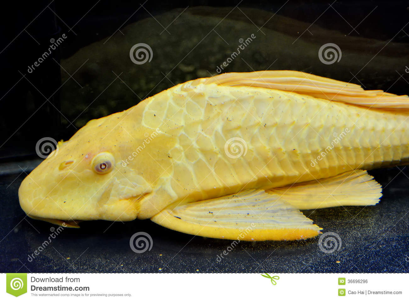 A yellow aquarium fish royalty free stock image image for Fish and pets unlimited