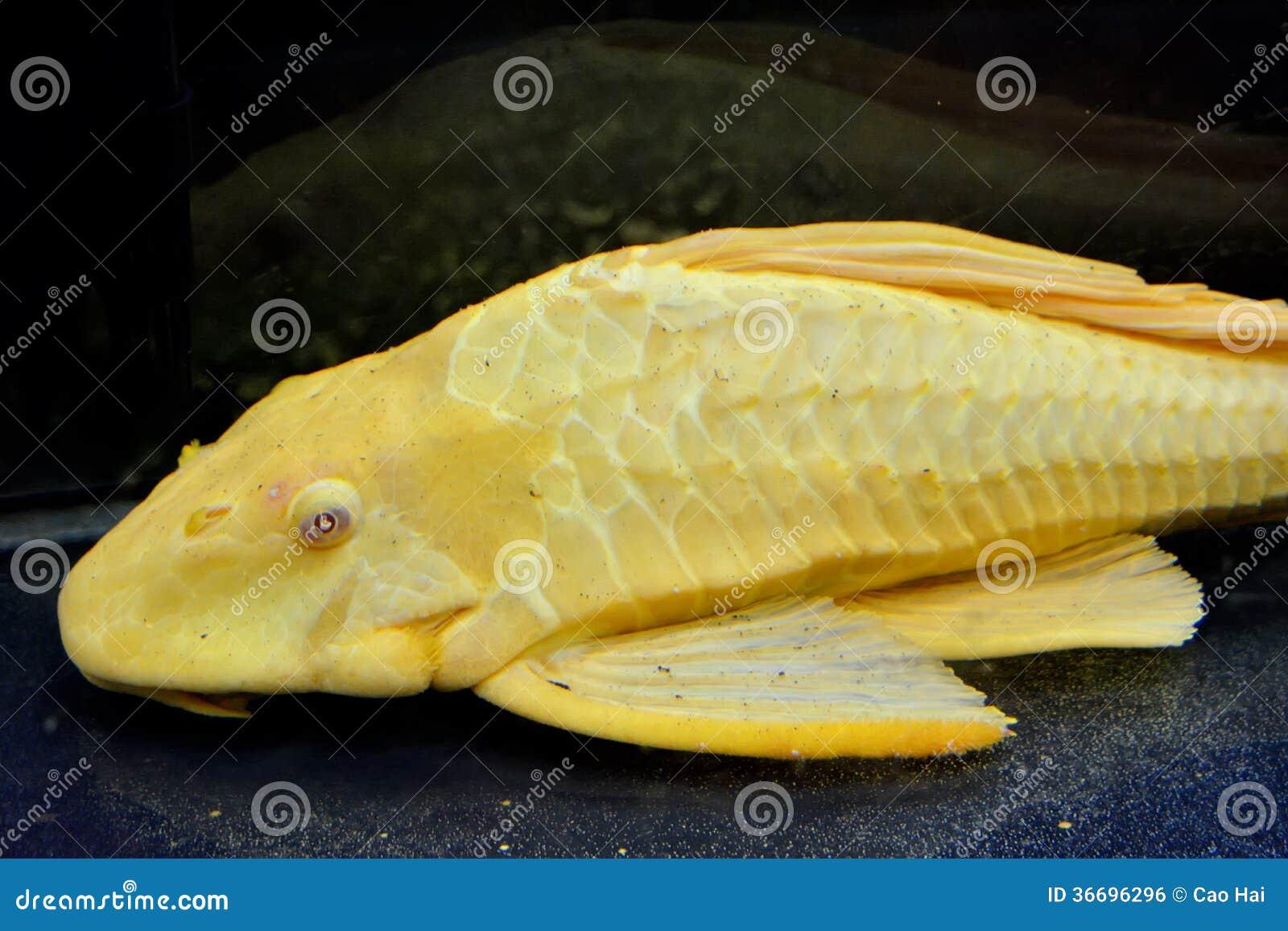 A yellow aquarium fish royalty free stock image image for Yellow fish tank water