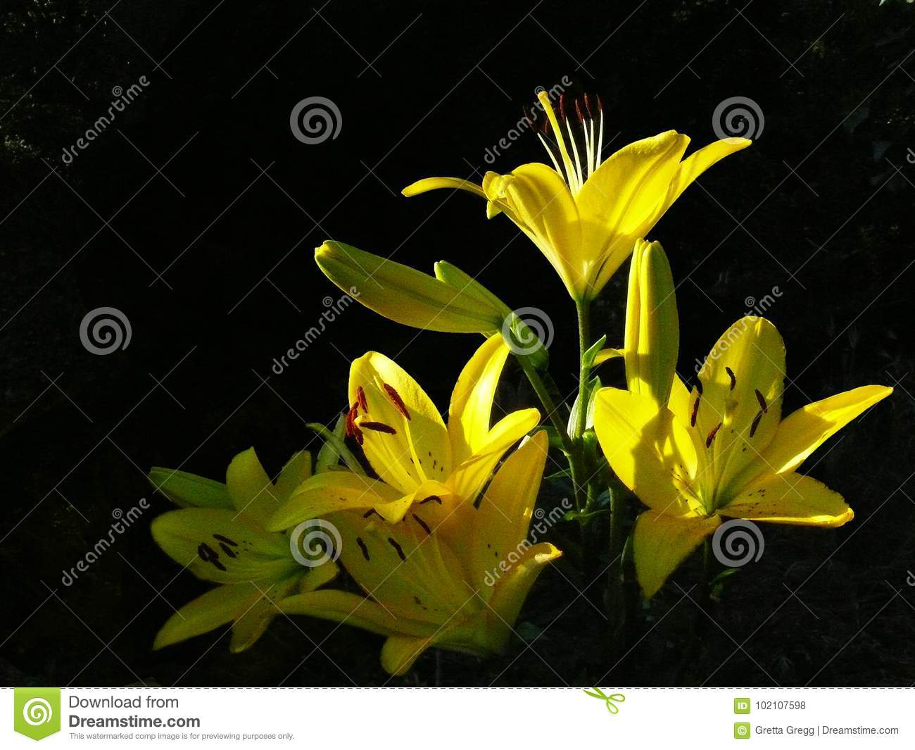 Yellow Asiatic Hybrid Lilies Stock Photo Image Of Cards Blooms