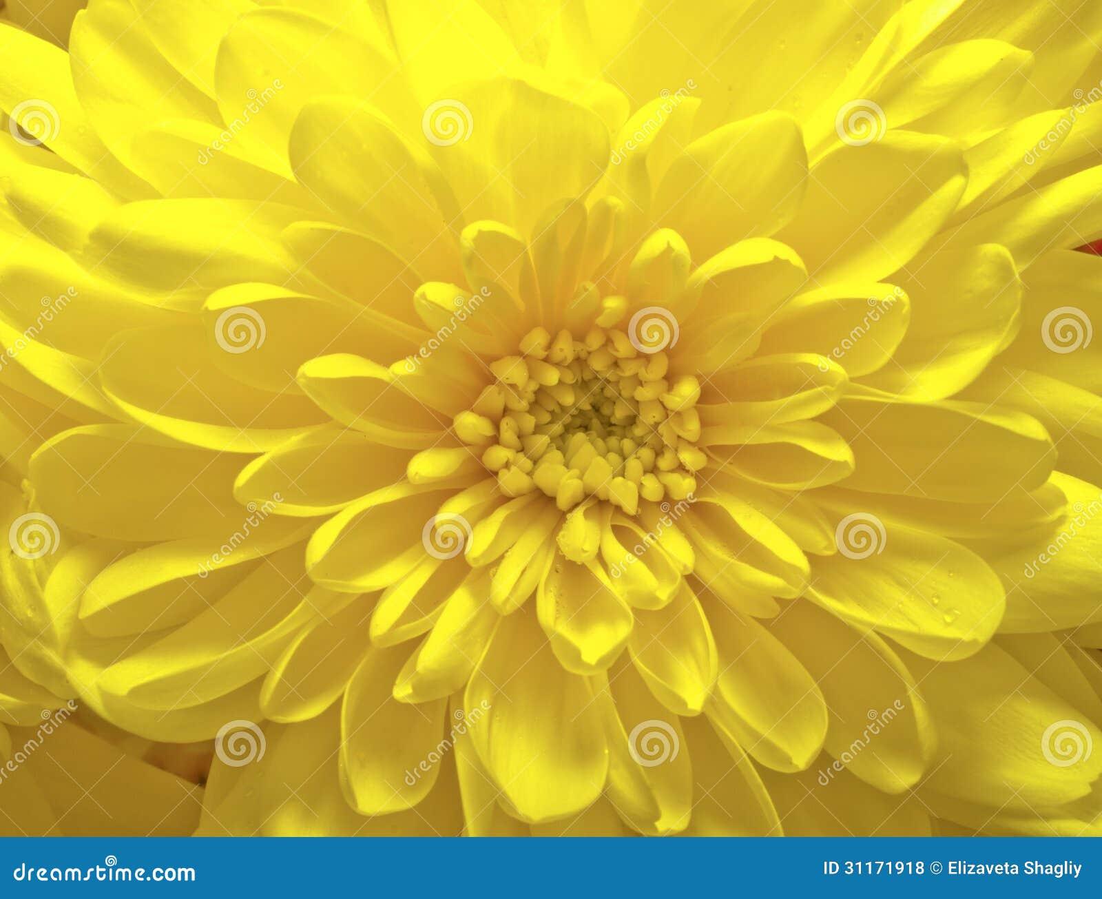 Yellow Aster Flower Stock Photo Image Of Fresh Macro 31171918