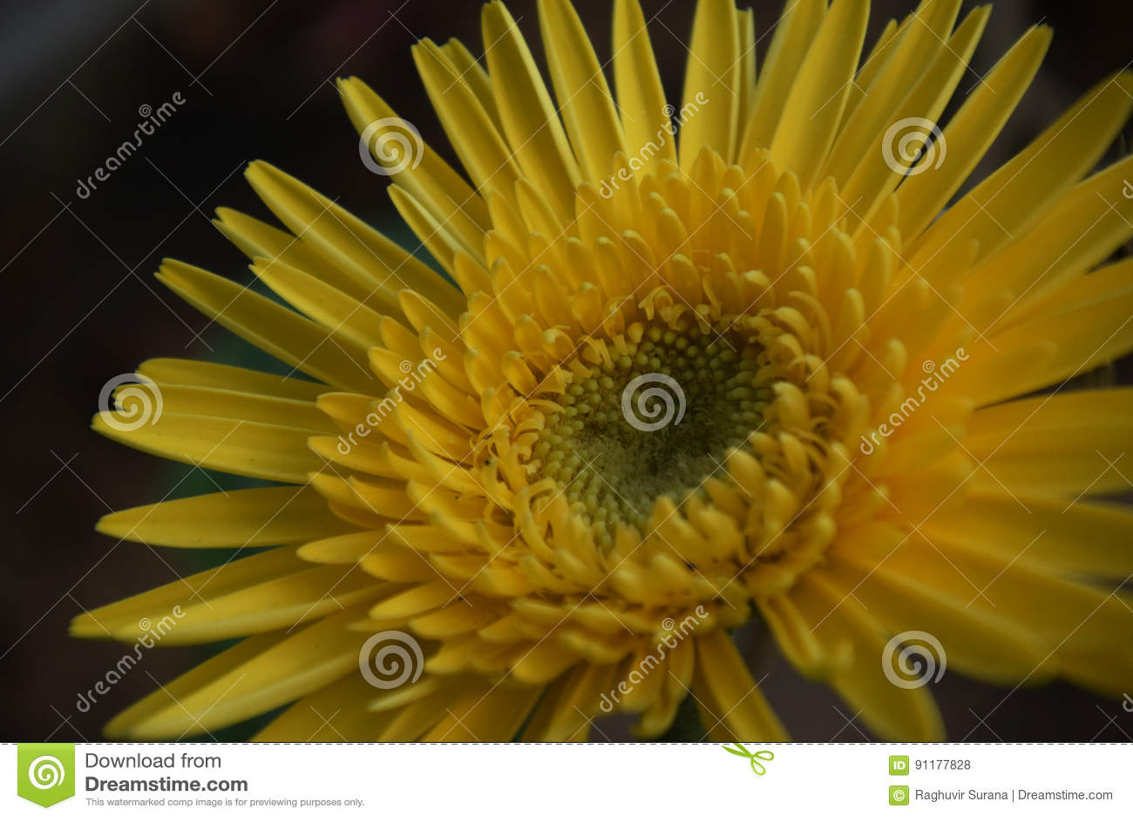 Yellow Aster Stock Photo Image Of White Headsndelightful 91177828