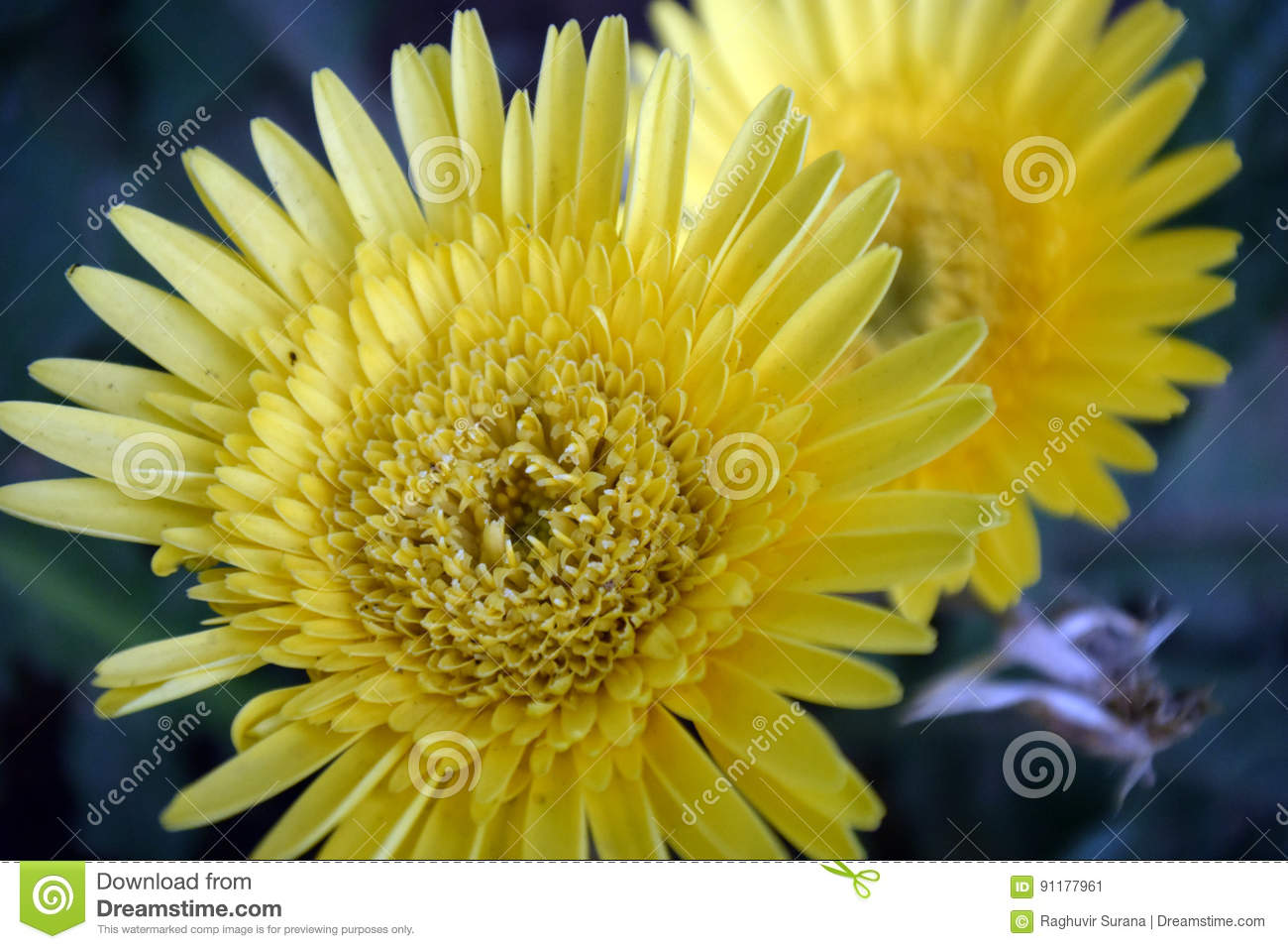 Yellow Aster Stock Image Image Of Flower Aster Flowering 91177961