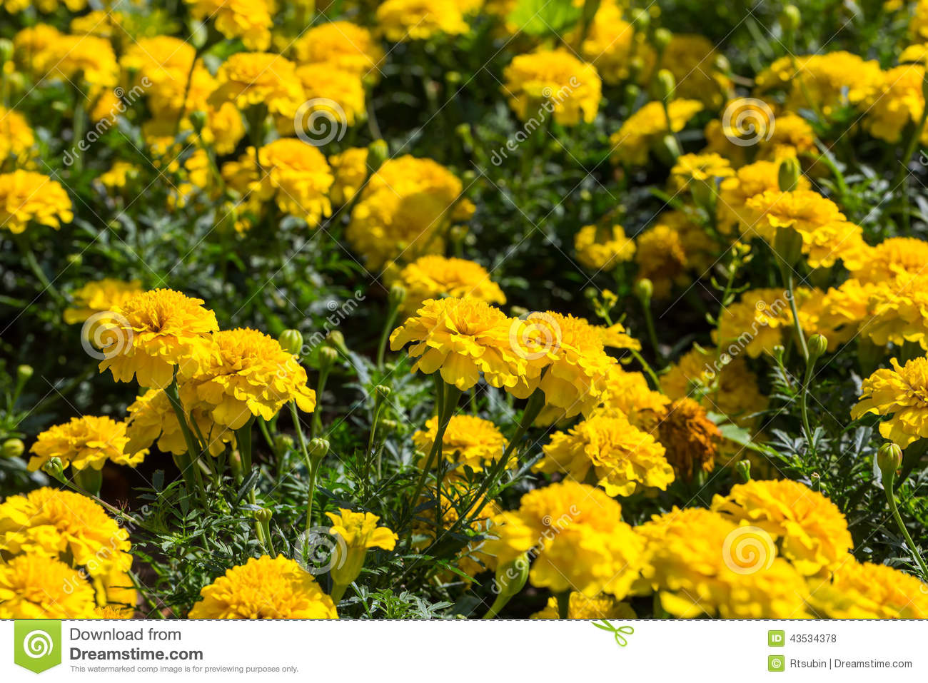 yellow aster flowers in the garden as background. stock photo, Beautiful flower